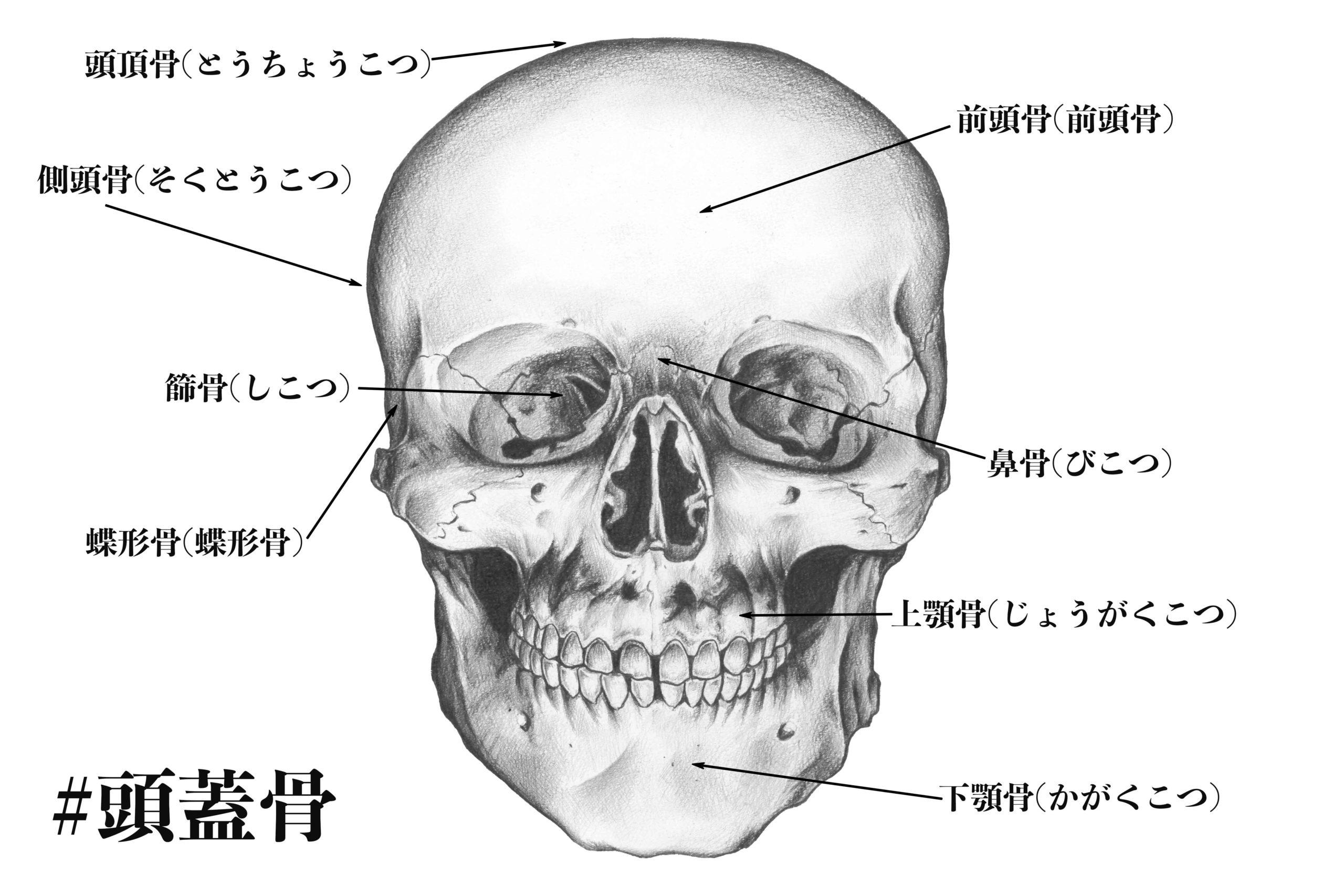 解剖学の勉強(頭蓋骨のスケッチ)