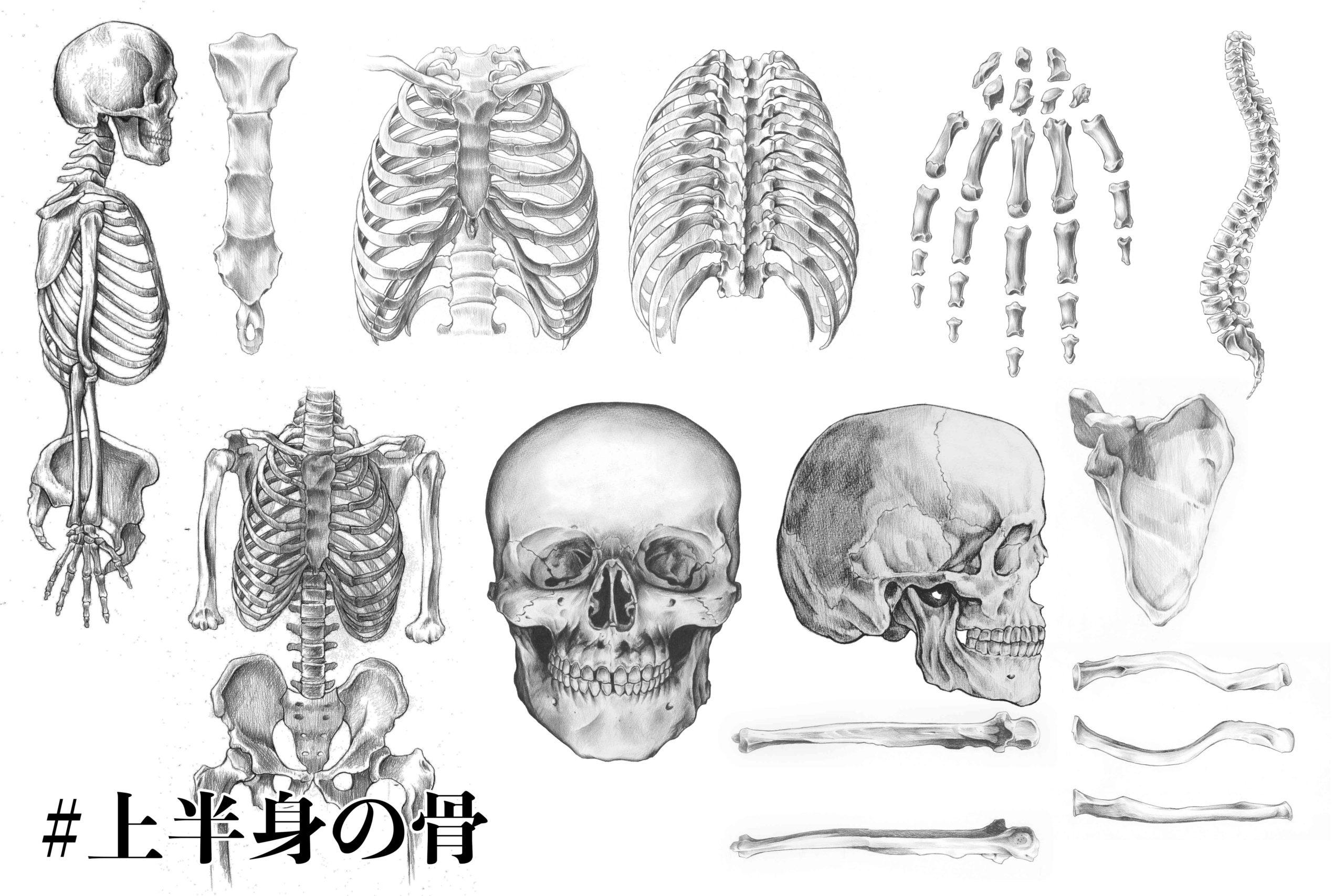 上半身の骨について