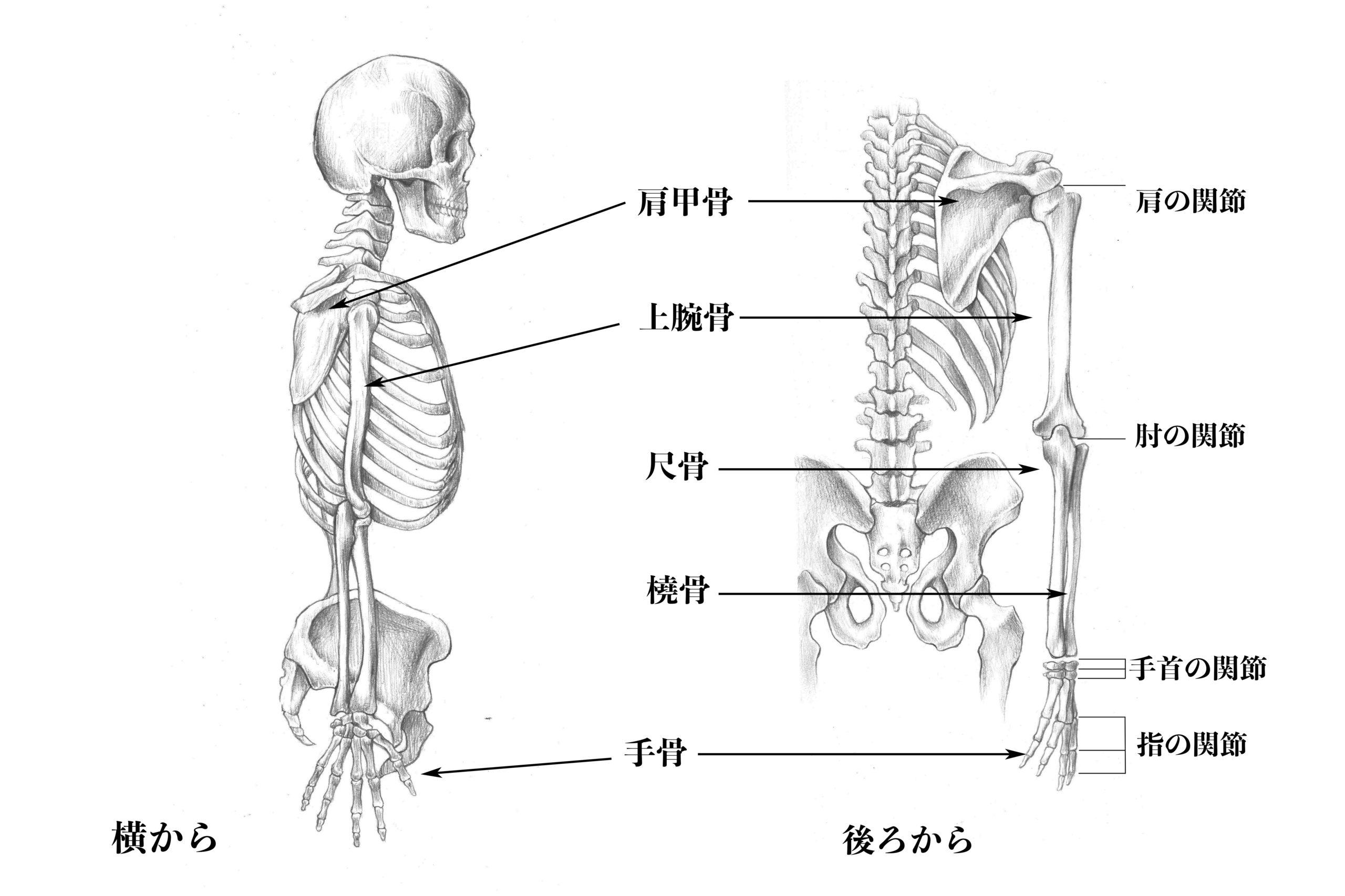 上肢の骨(横と後ろから)