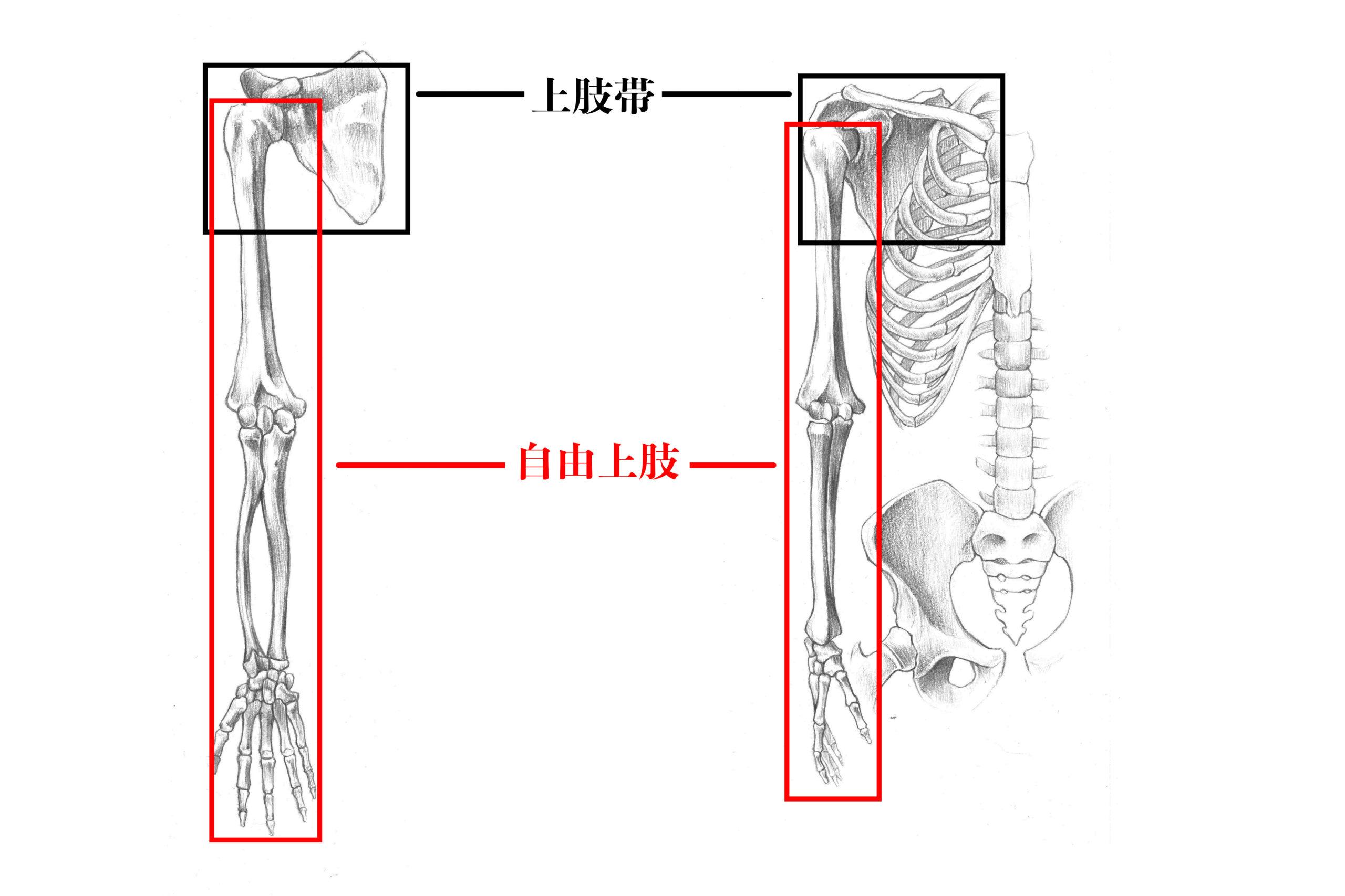 上肢帯と自由上肢のスケッチ