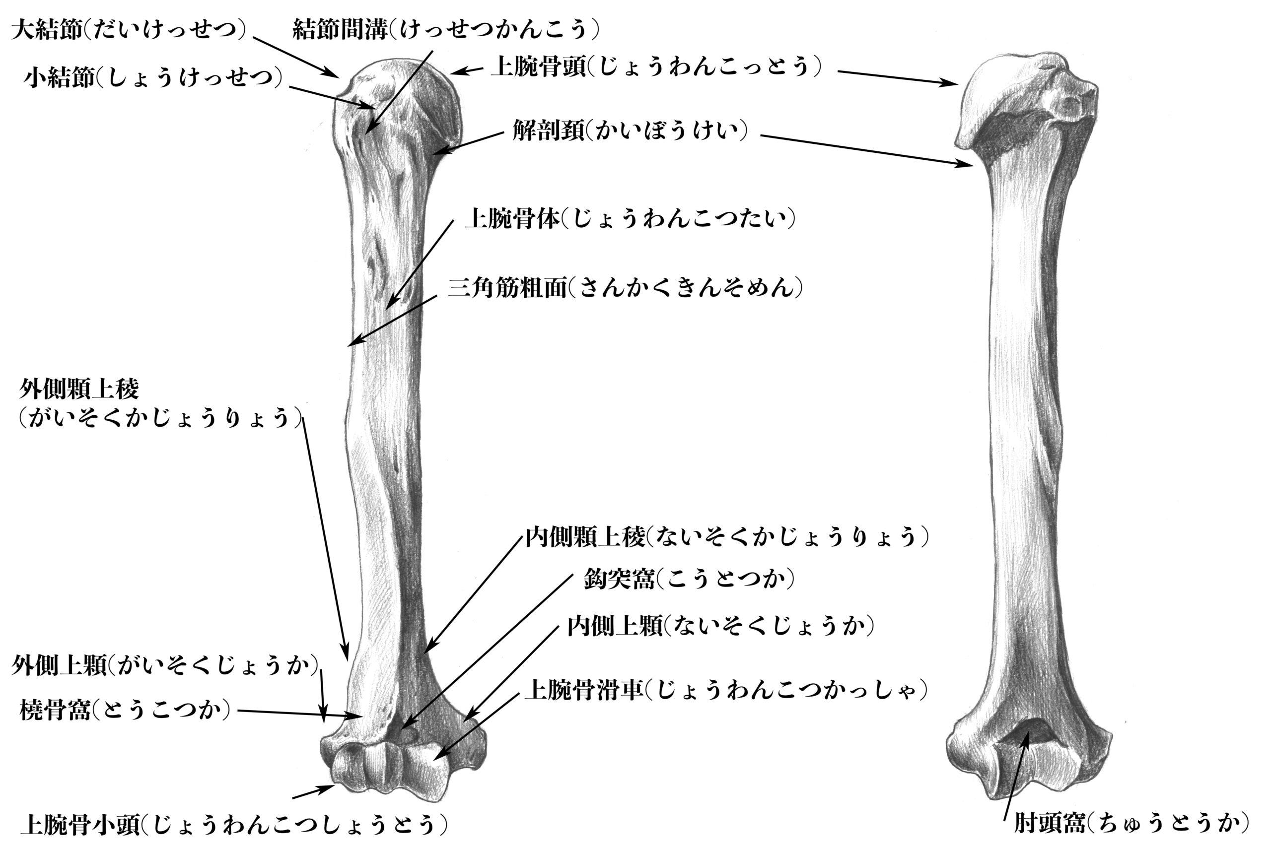 上腕骨の構造のスケッチ