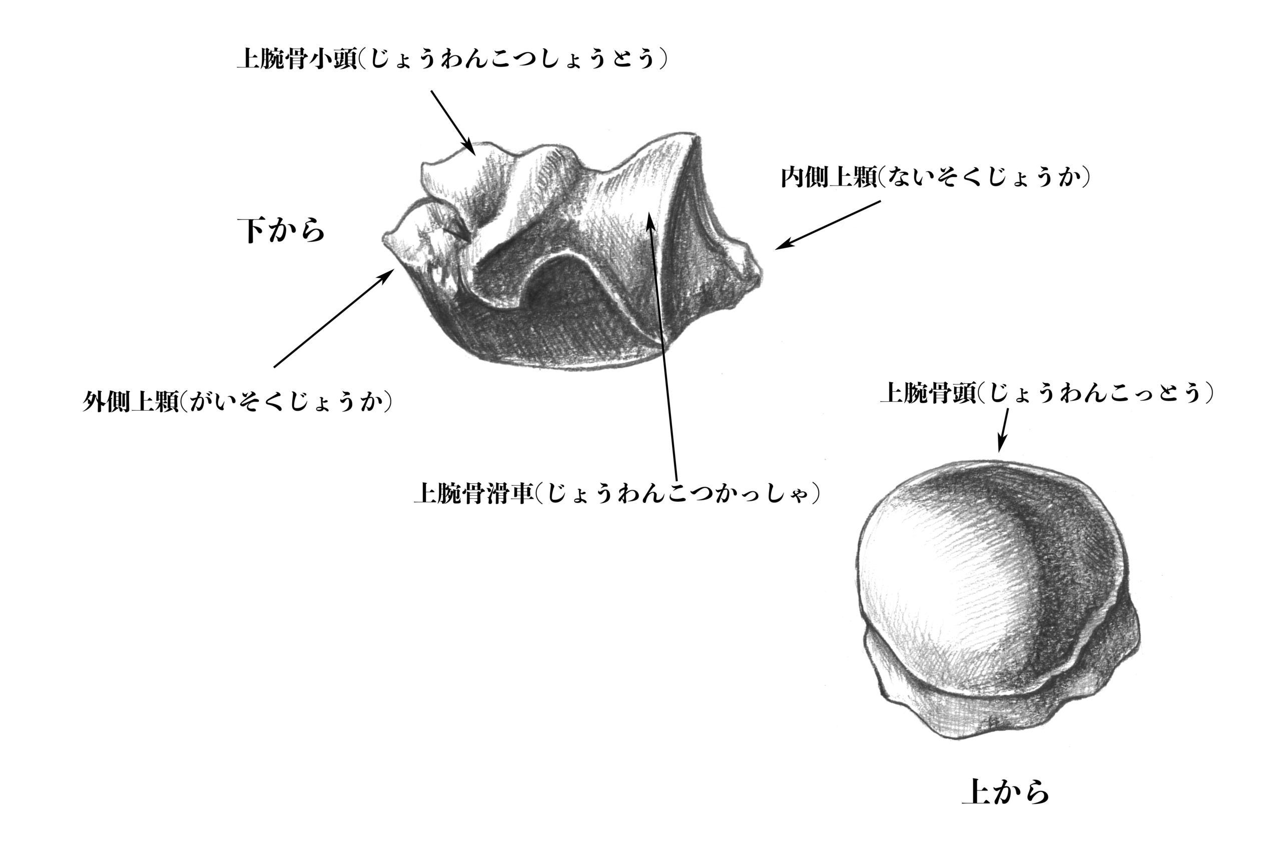 上腕骨の関節面のスケッチ