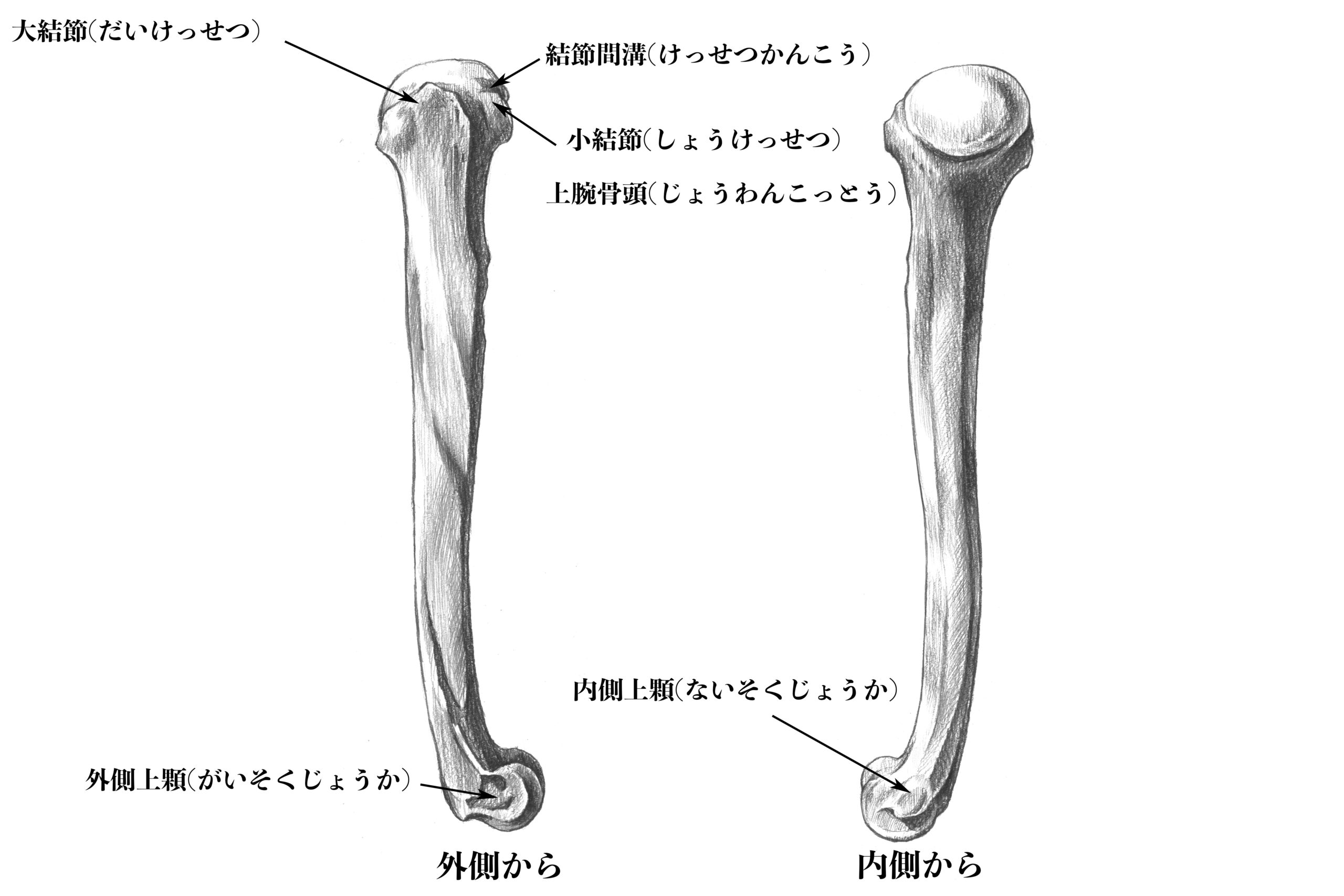 上腕骨側部からのスケッチ