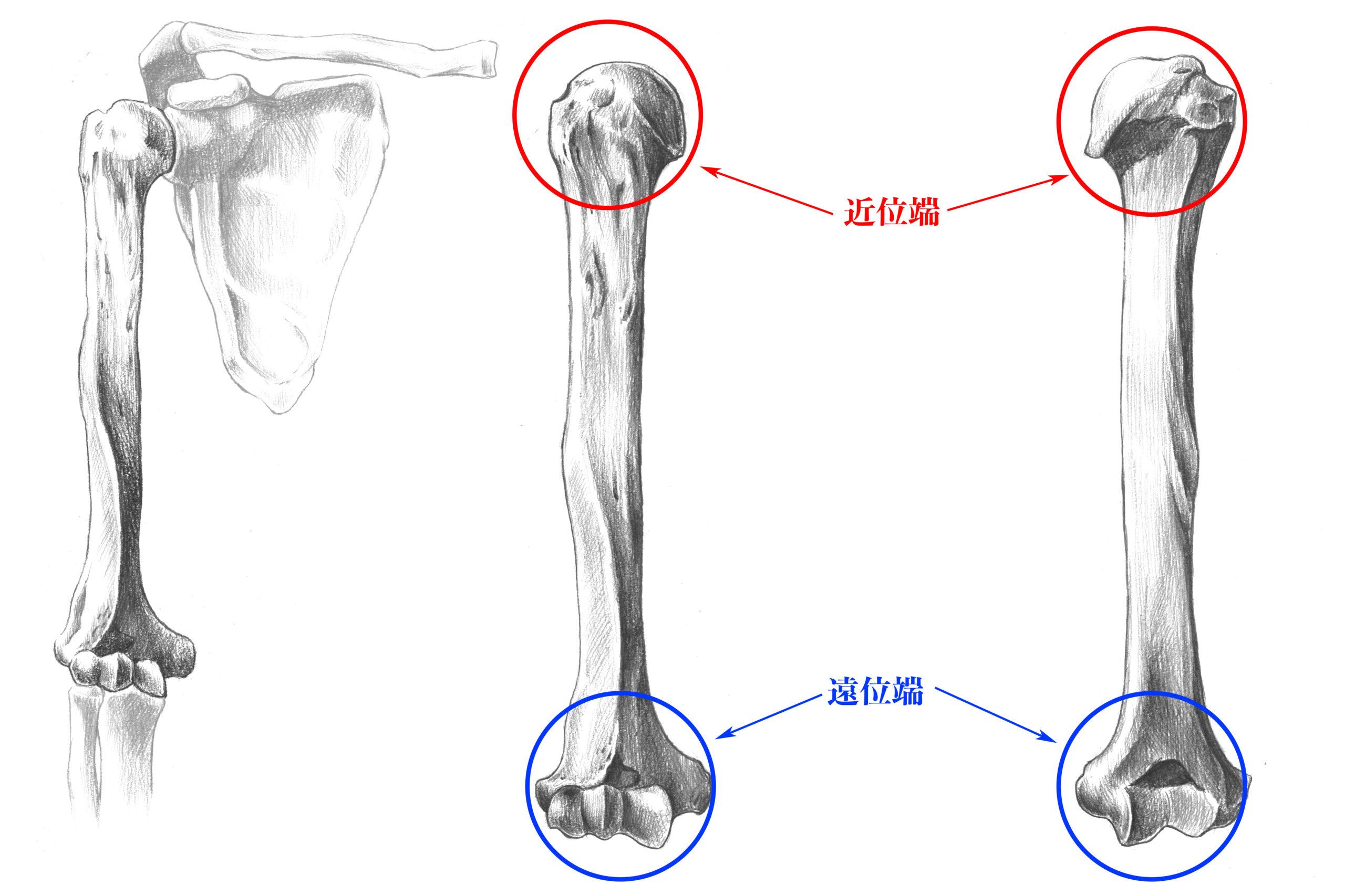 上腕骨近位端と遠位端のスケッチ