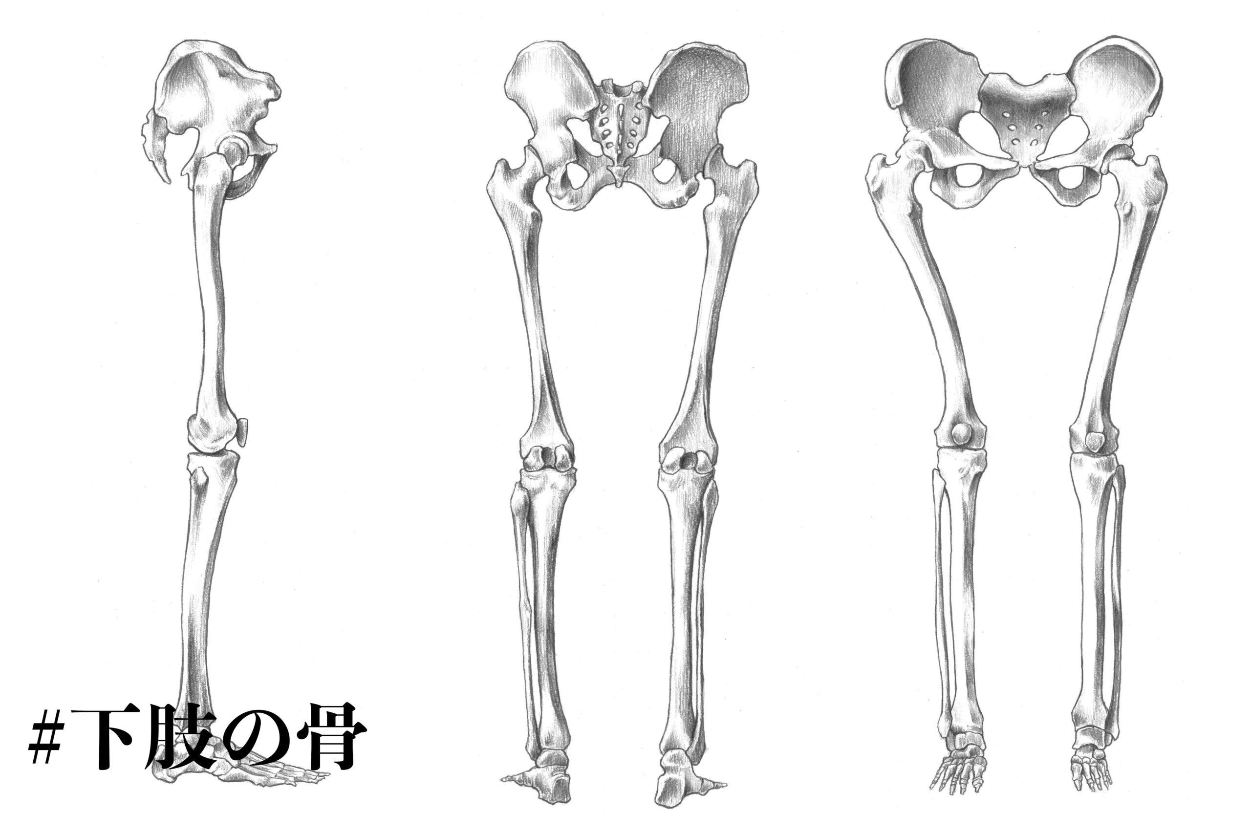下肢の骨についてのスケッチ