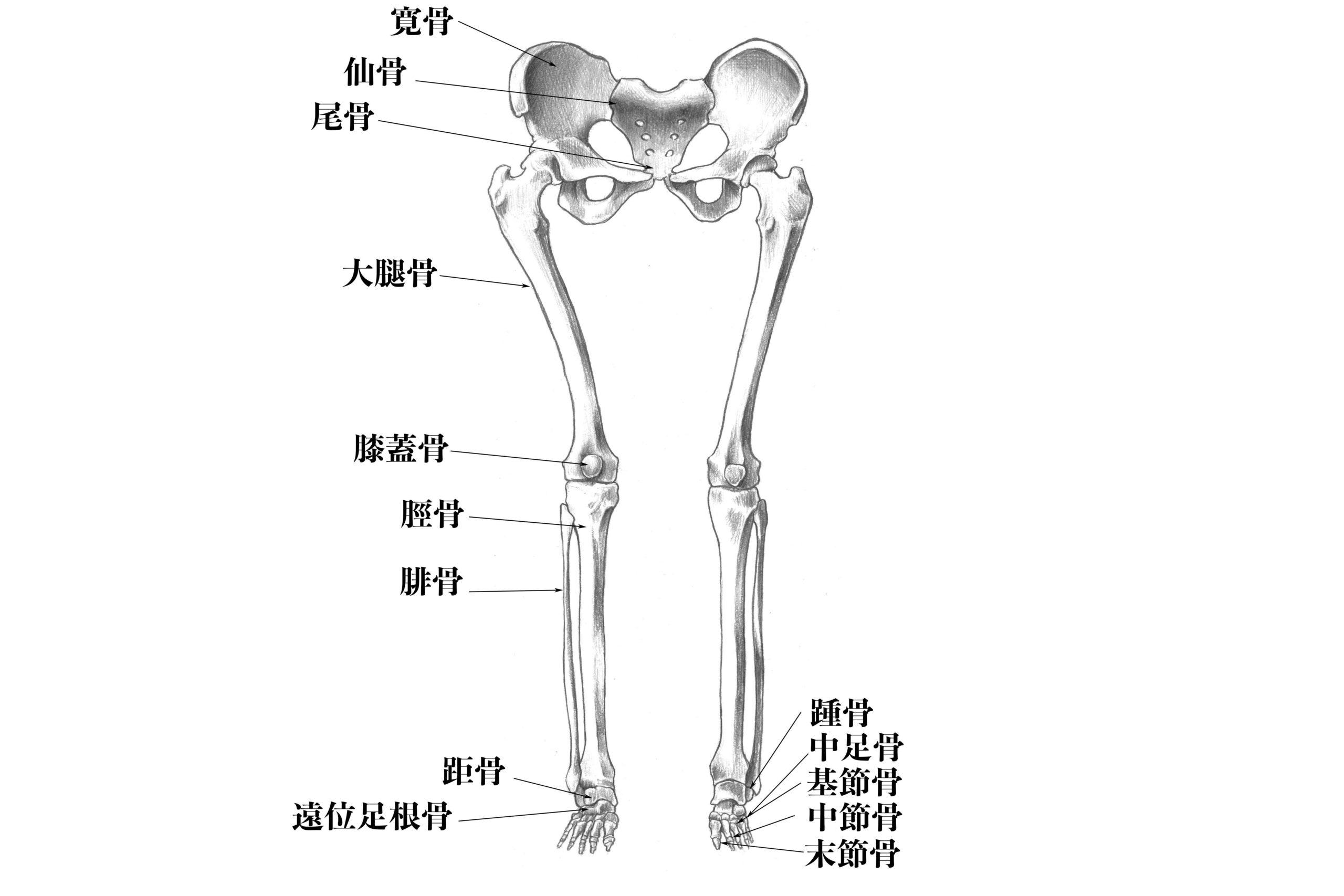 下肢の骨名称(前方)
