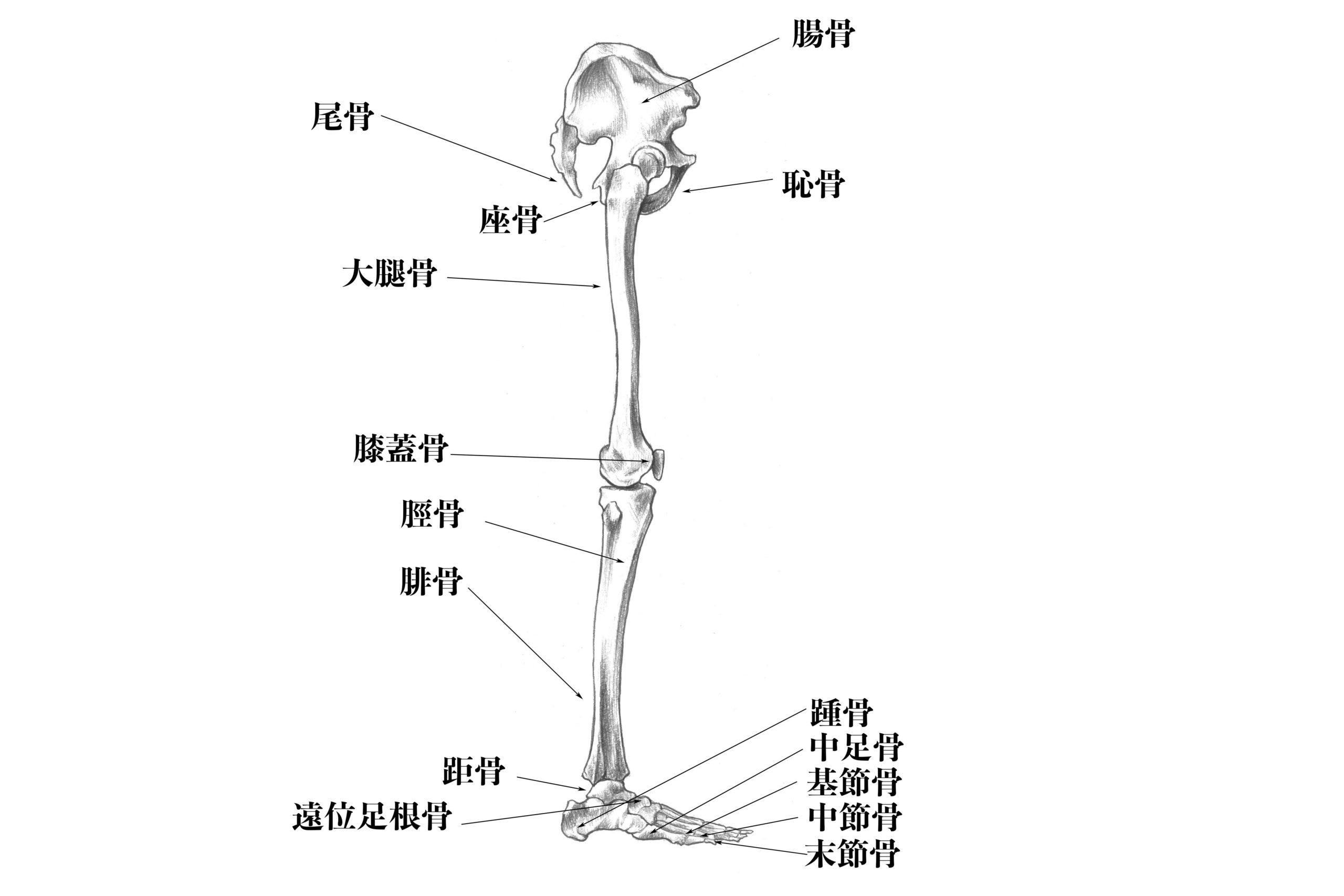 下肢の骨名称(横から)