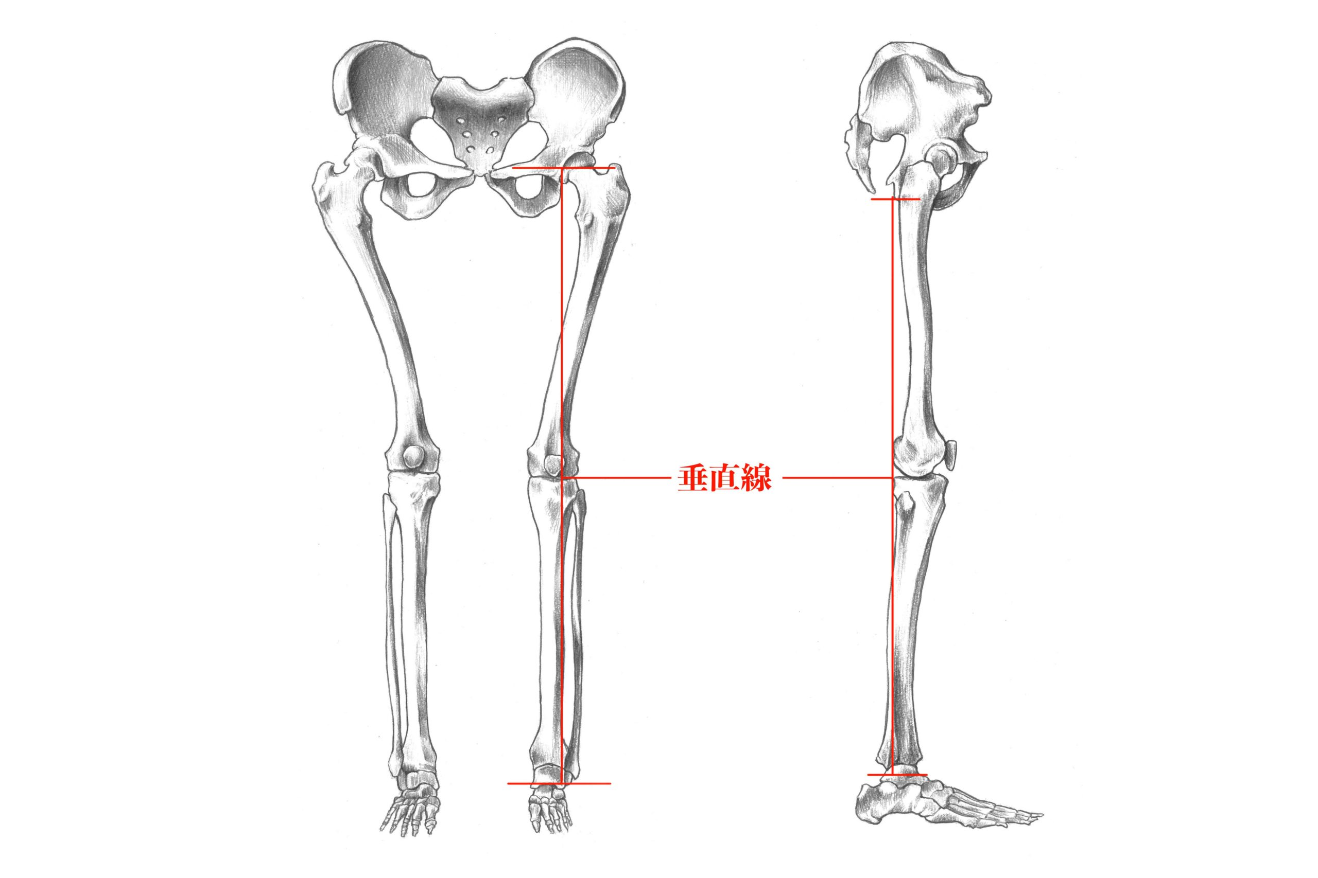 下肢の骨垂直線