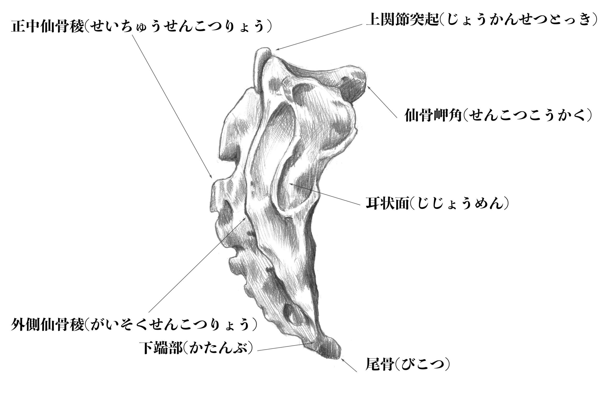 仙骨横からのスケッチ