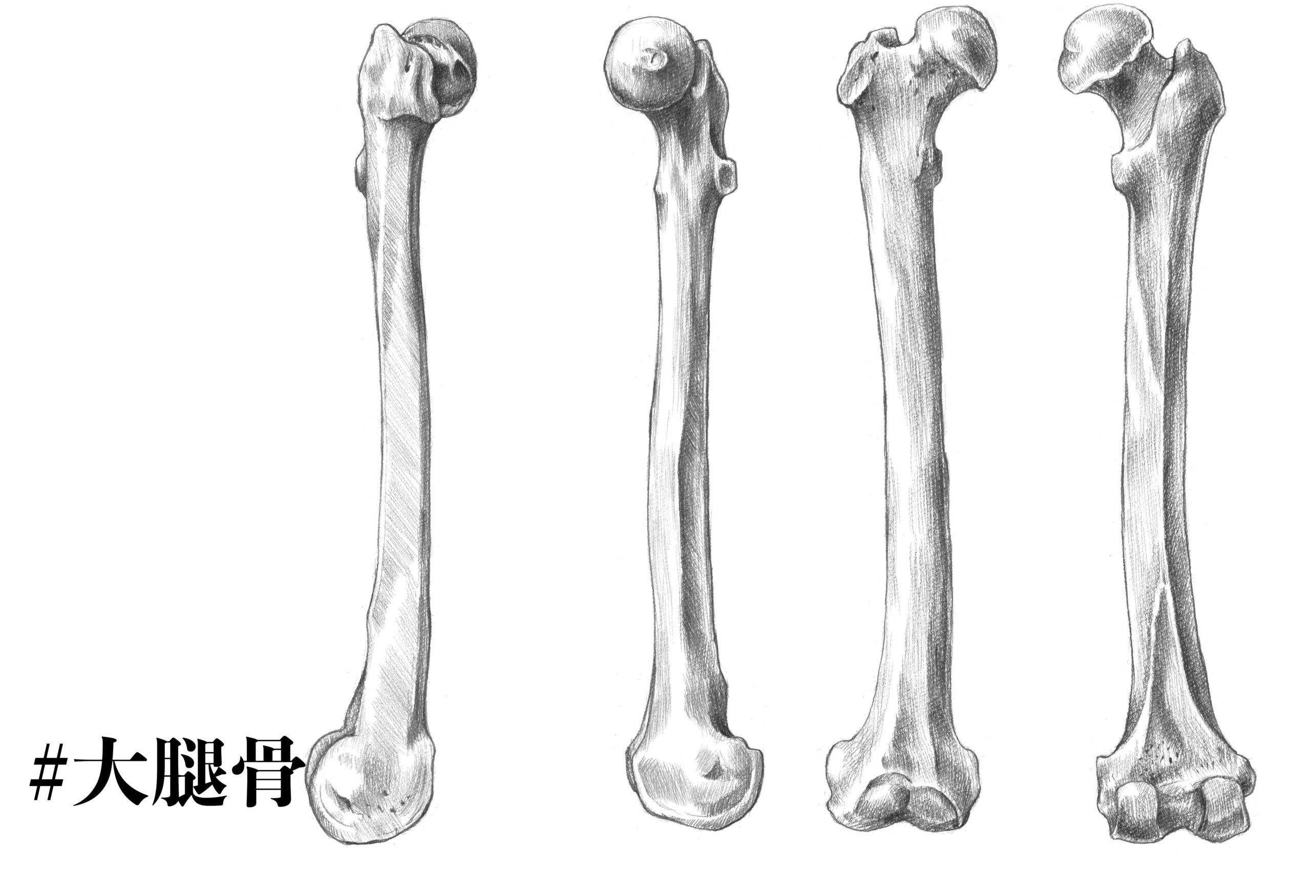大腿骨についてのスケッチ