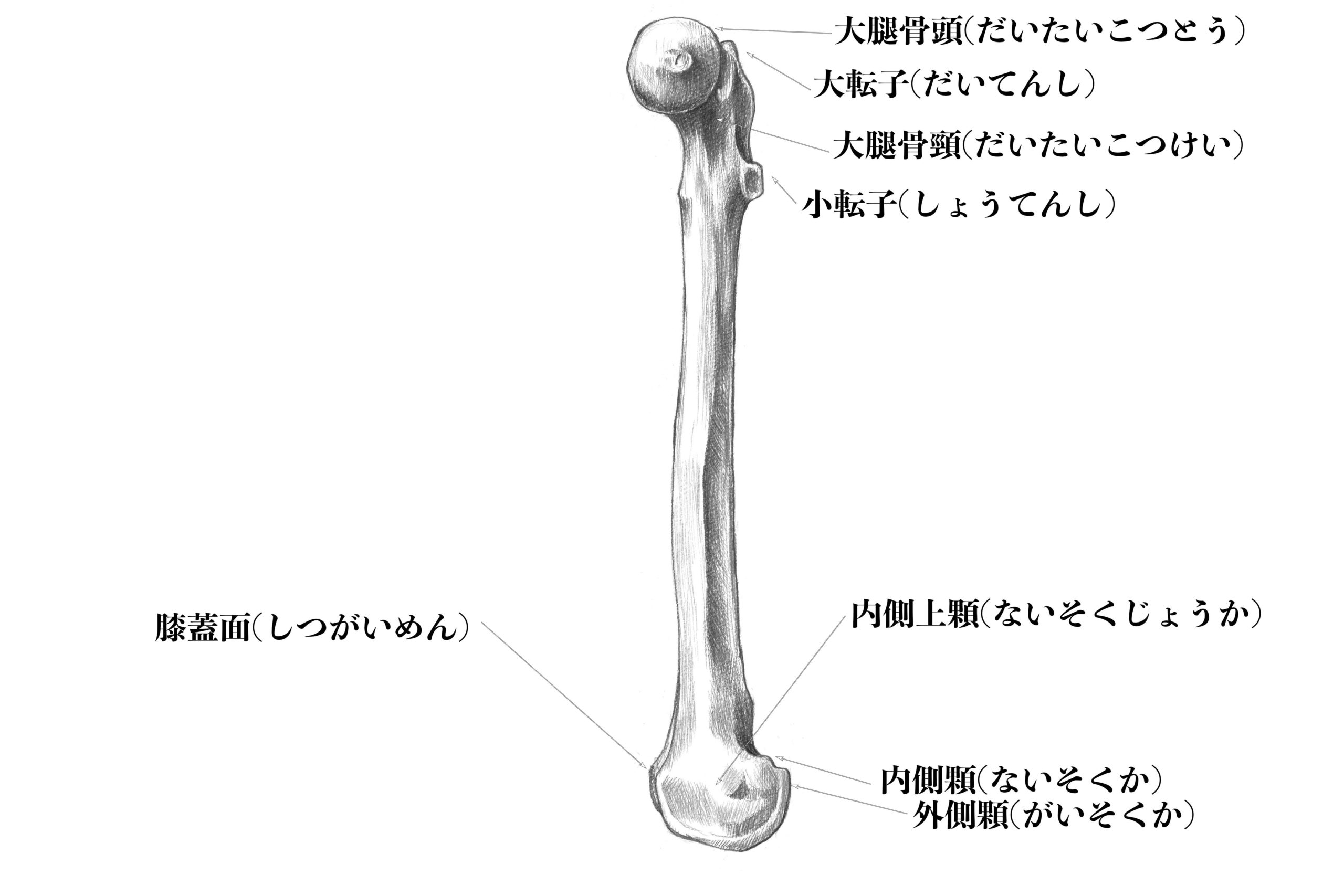 大腿骨(内側)のスケッチ