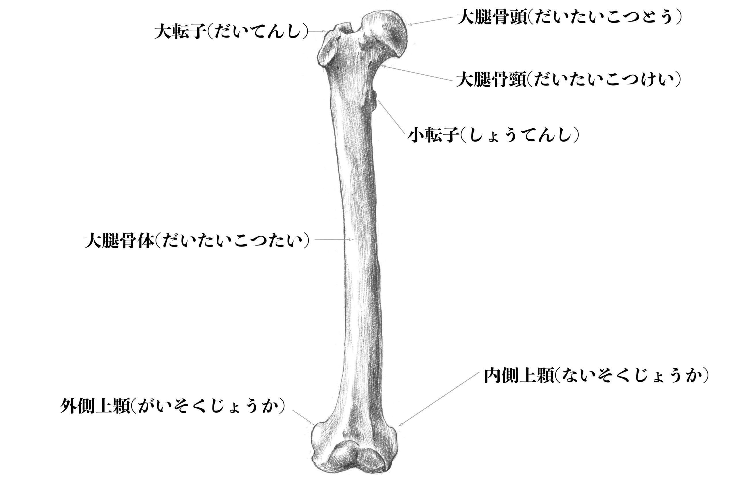 大腿骨(前から)のスケッチ