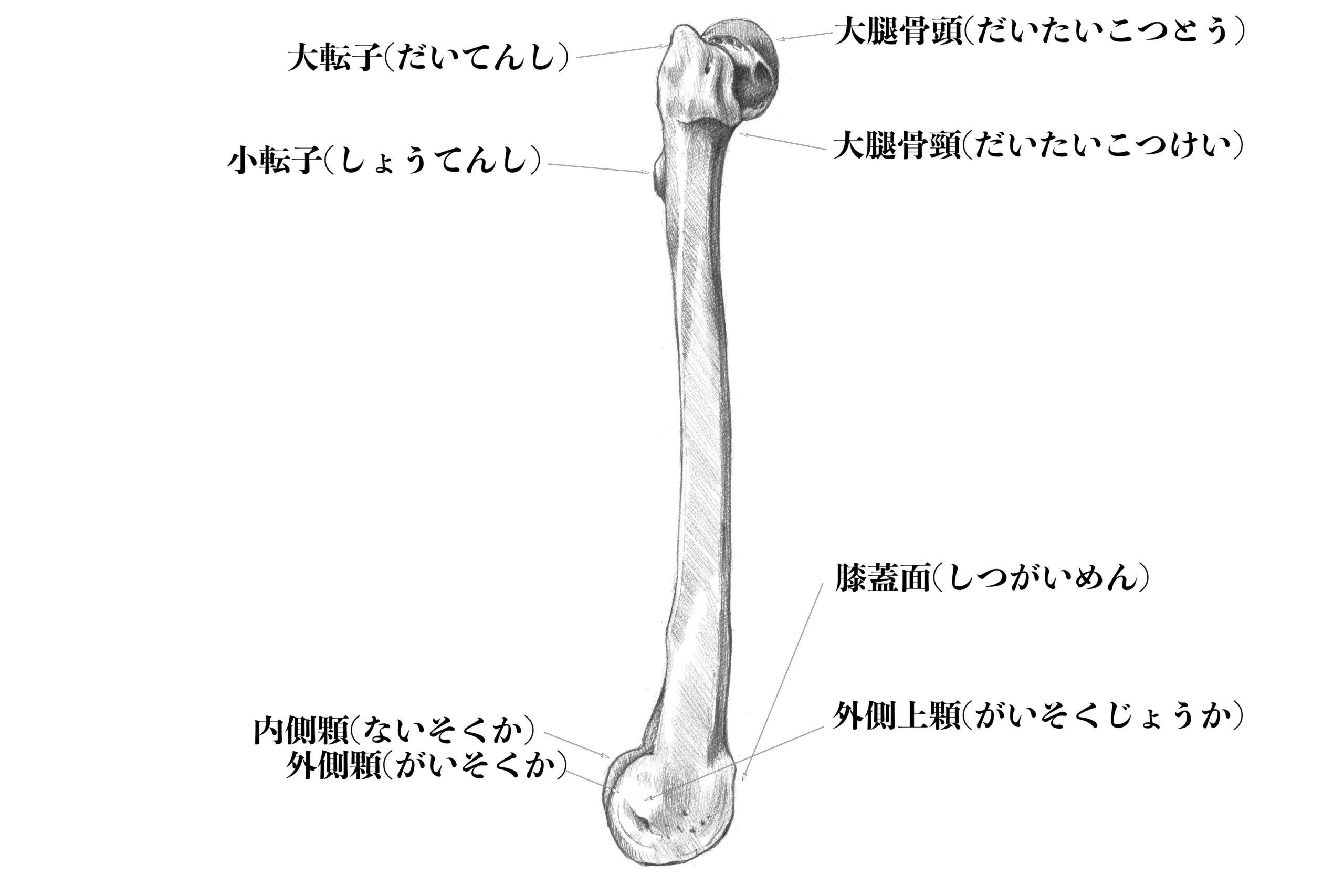 大腿骨(外側)のスケッチ
