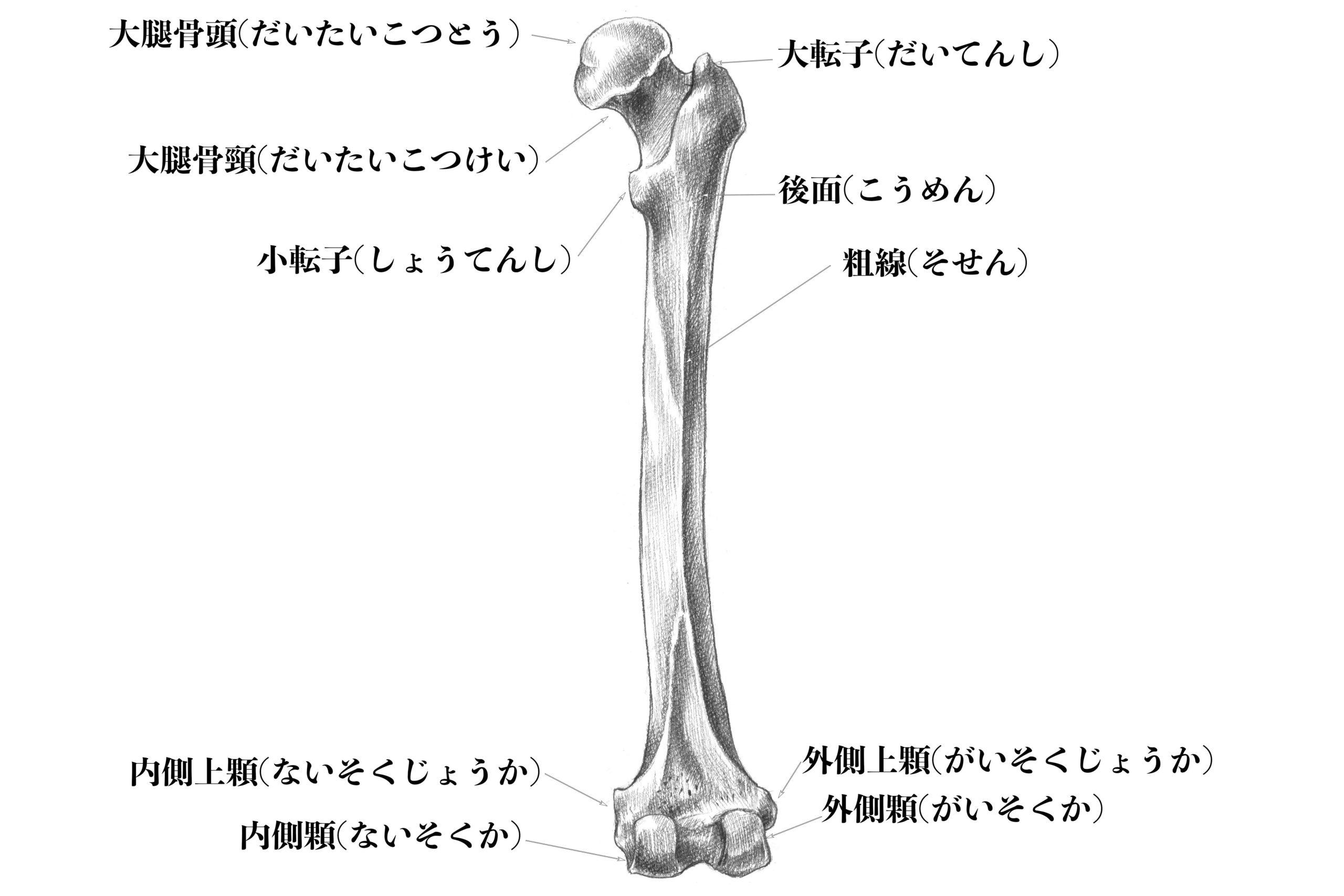 大腿骨(後ろから)