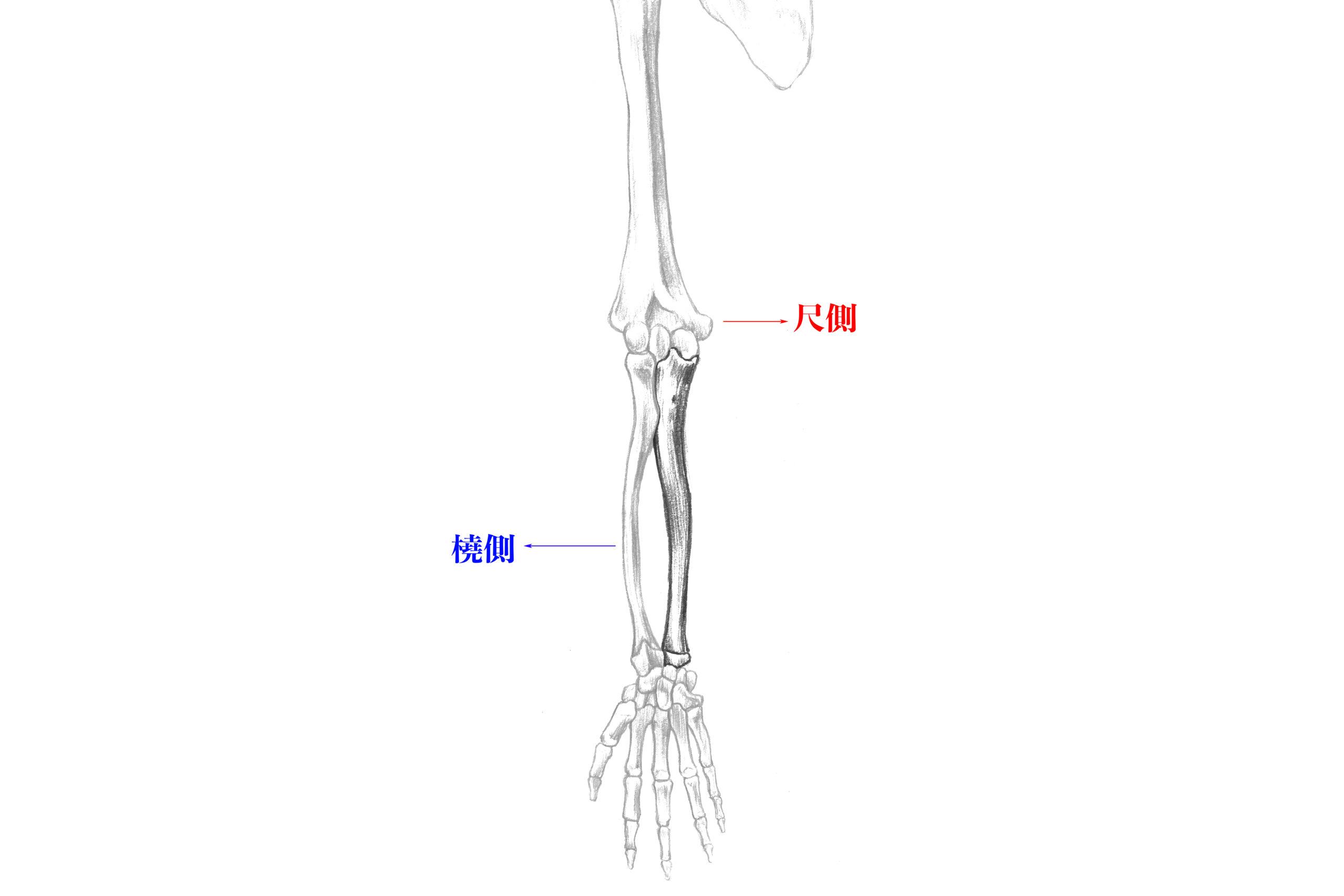 尺側と橈側