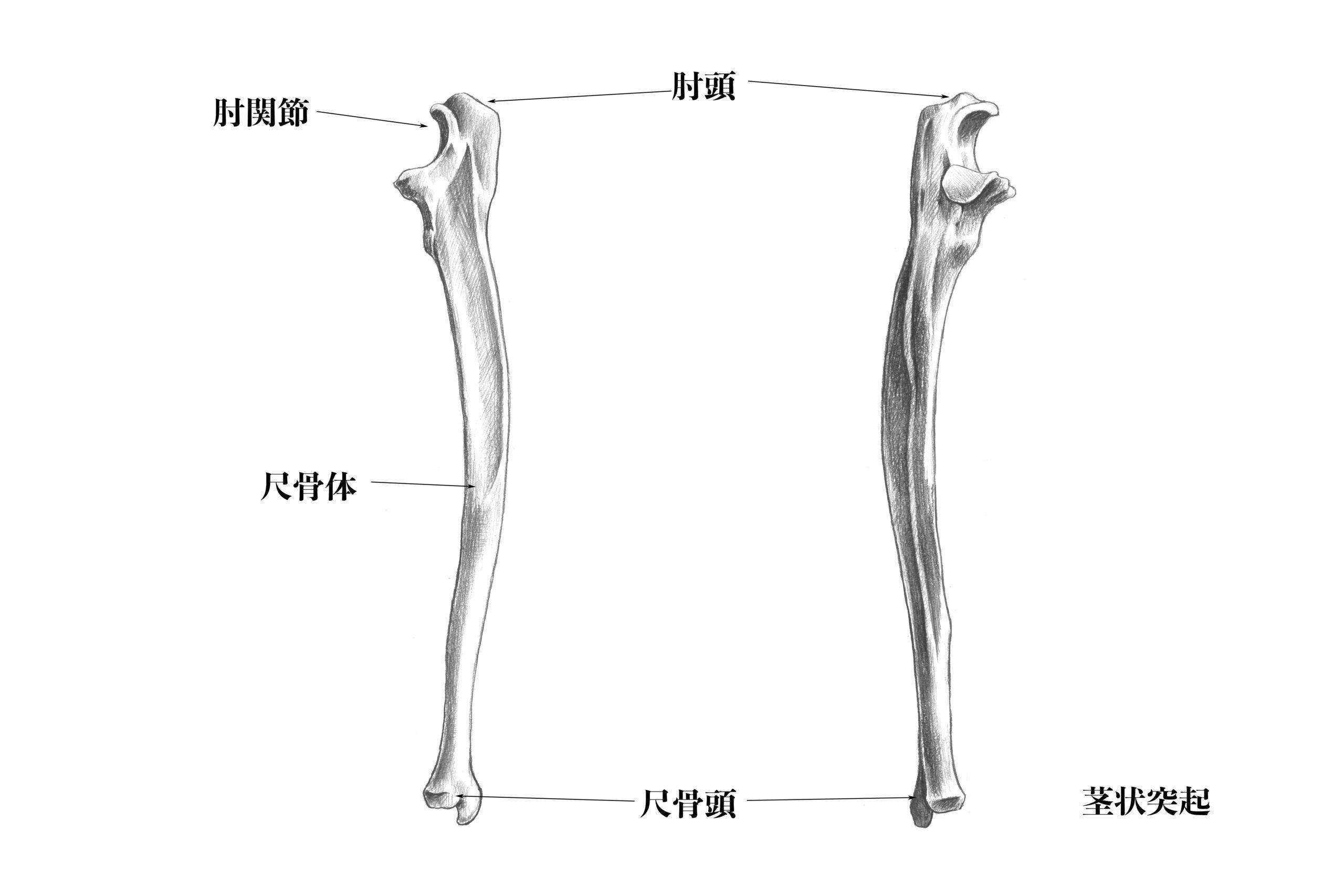 尺骨側面からのスケッチ
