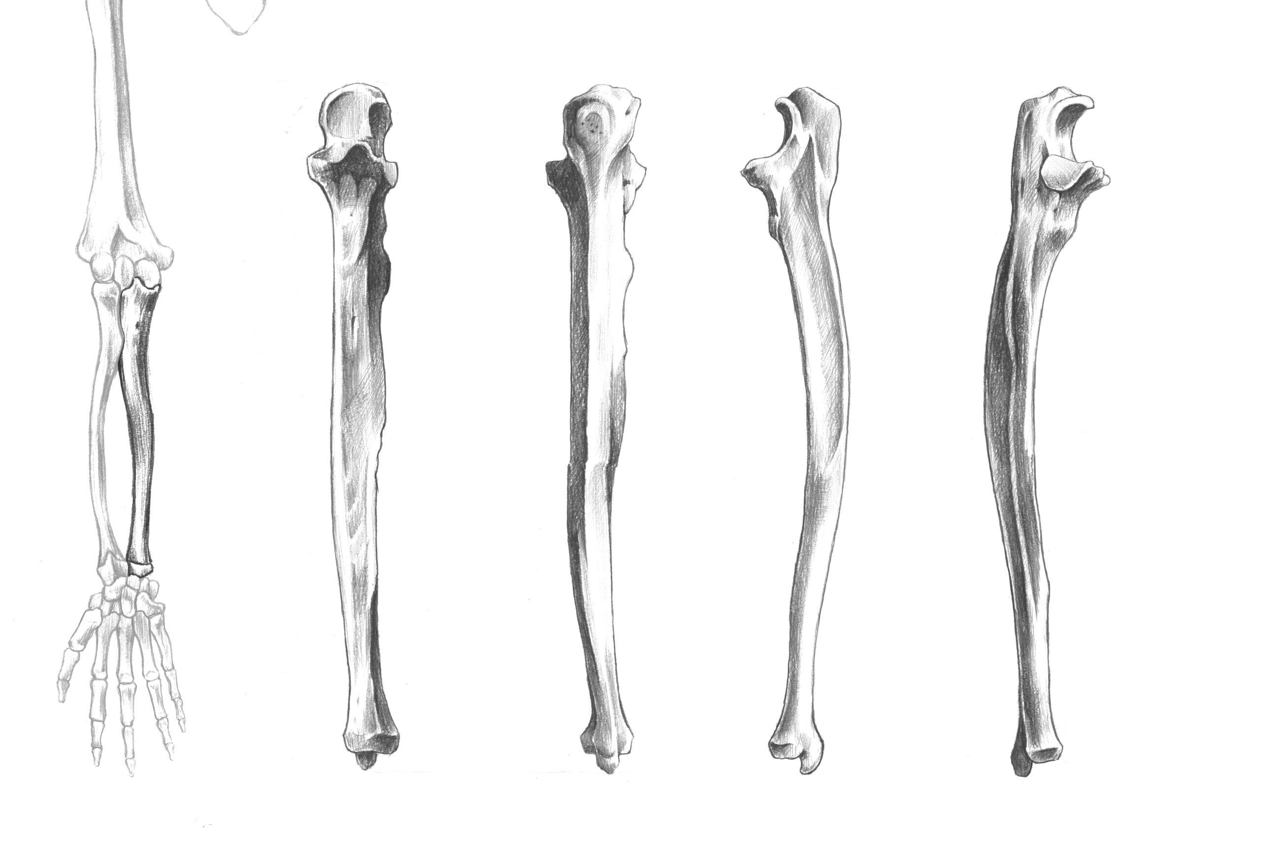 尺骨全体のスケッチ