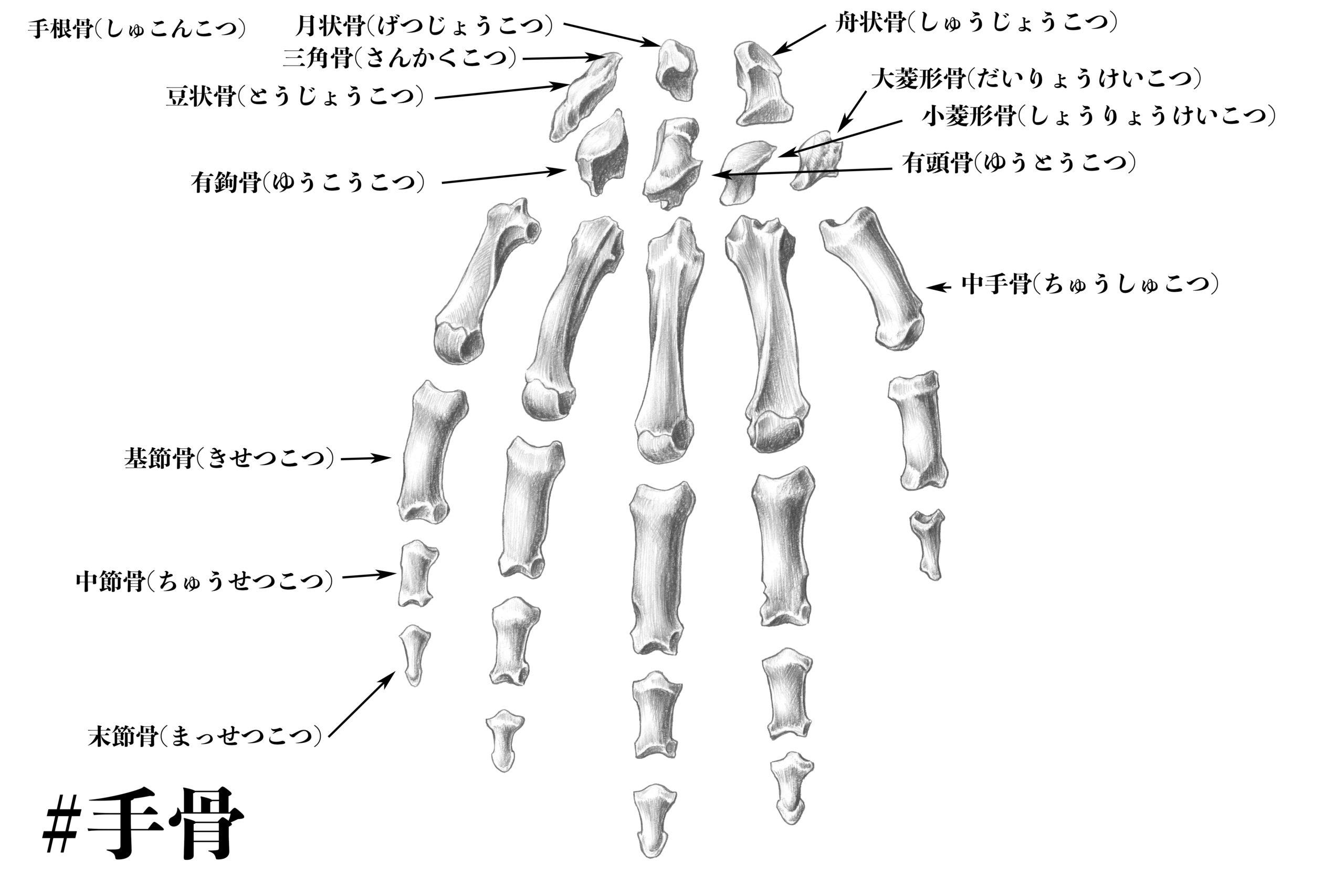 名前 手首 の 骨