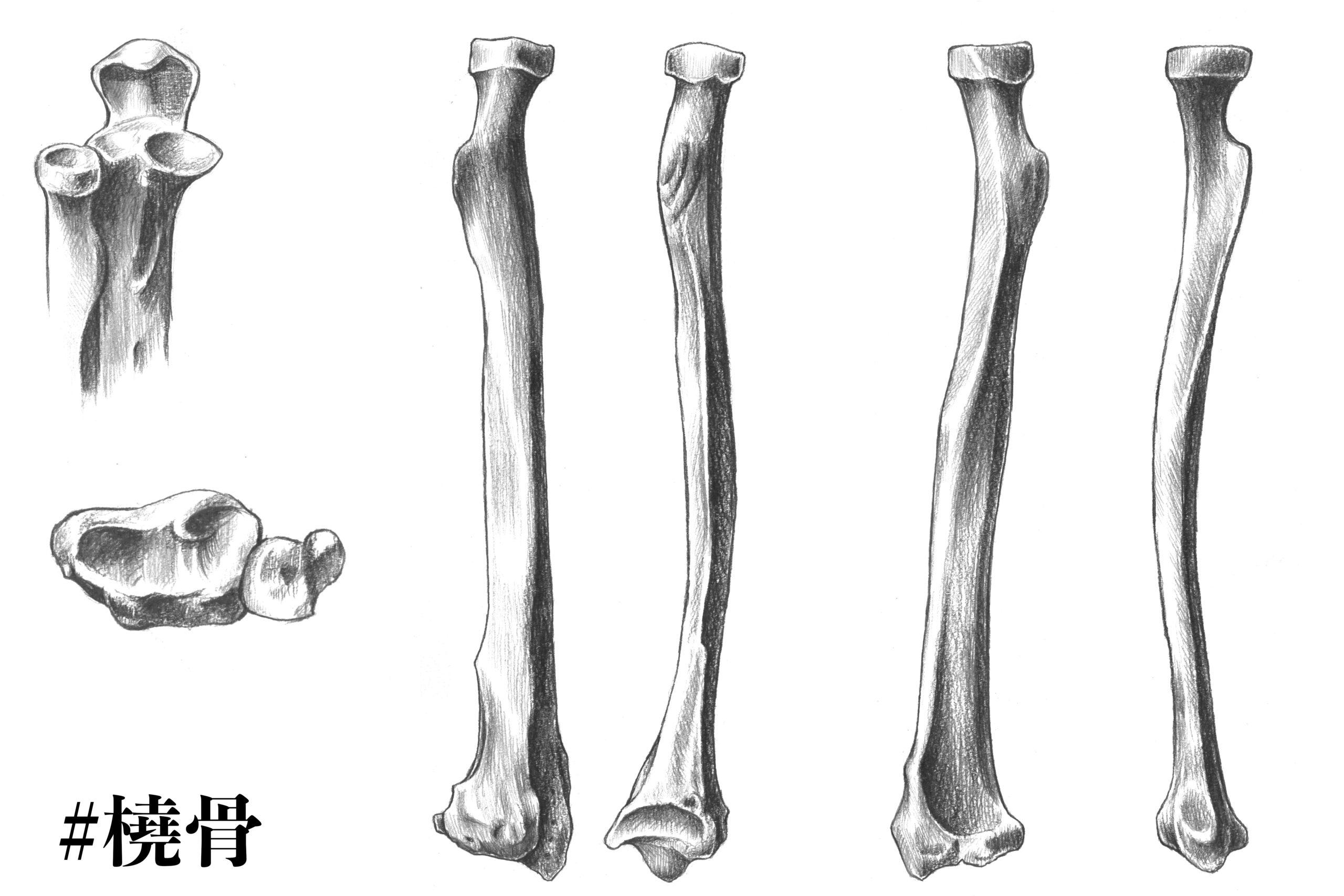 橈骨についてのスケッチ