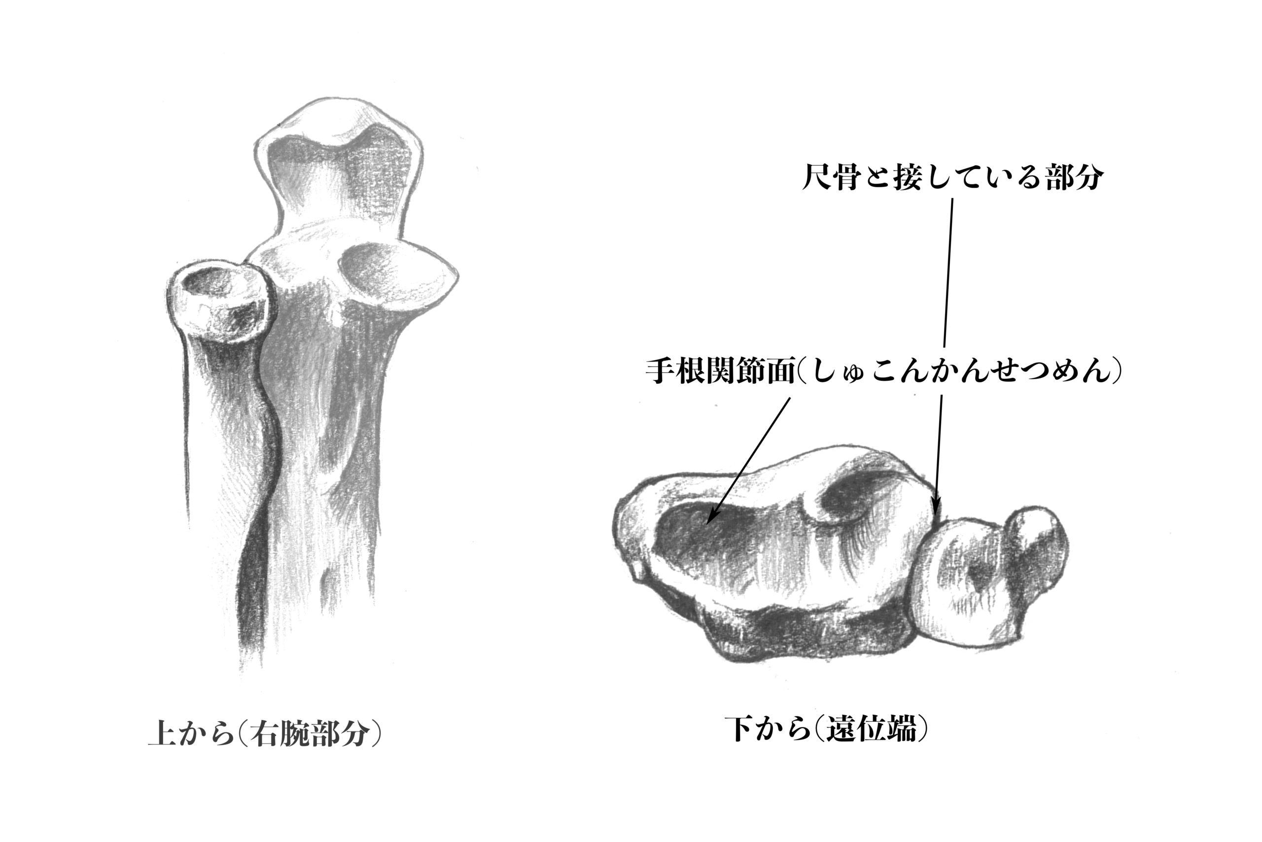 橈骨上下面のスケッチ