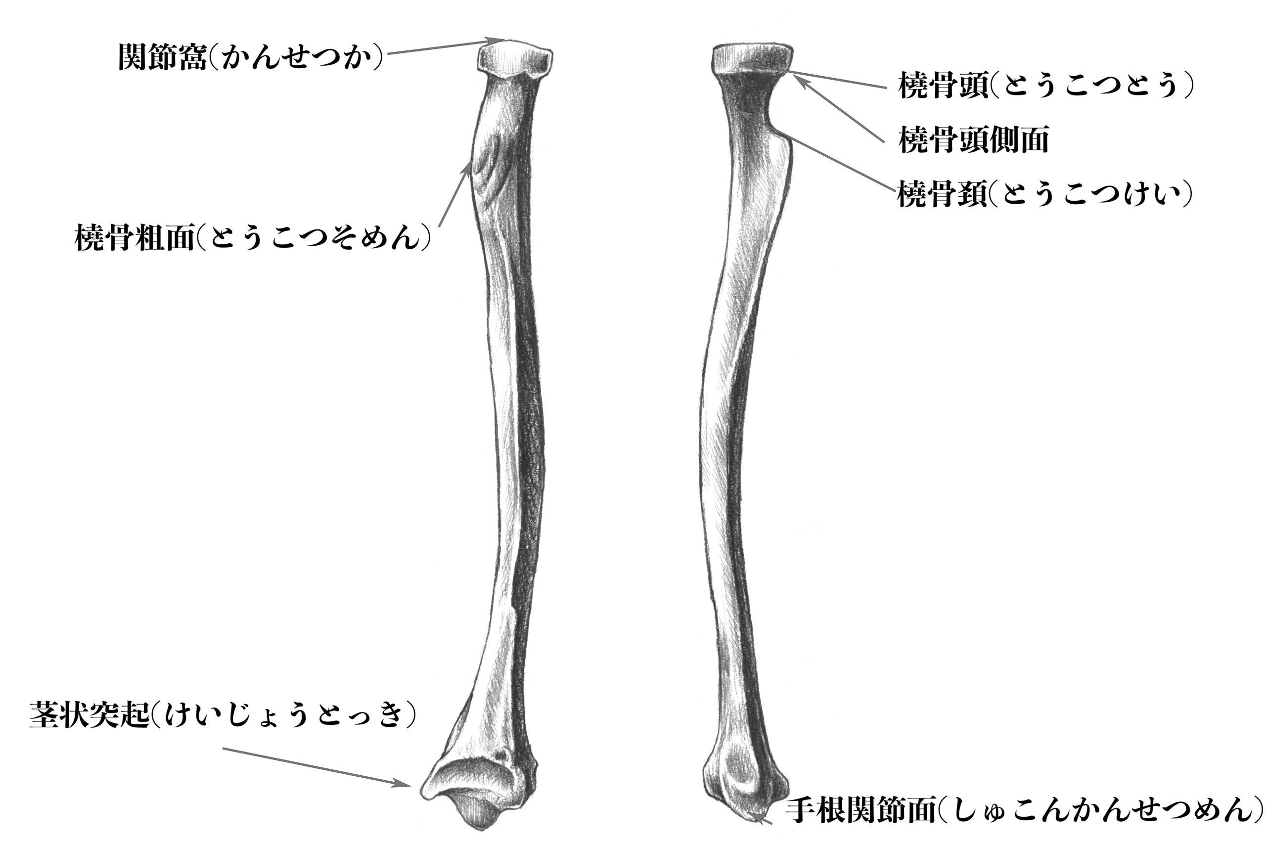 橈骨側面のスケッチ