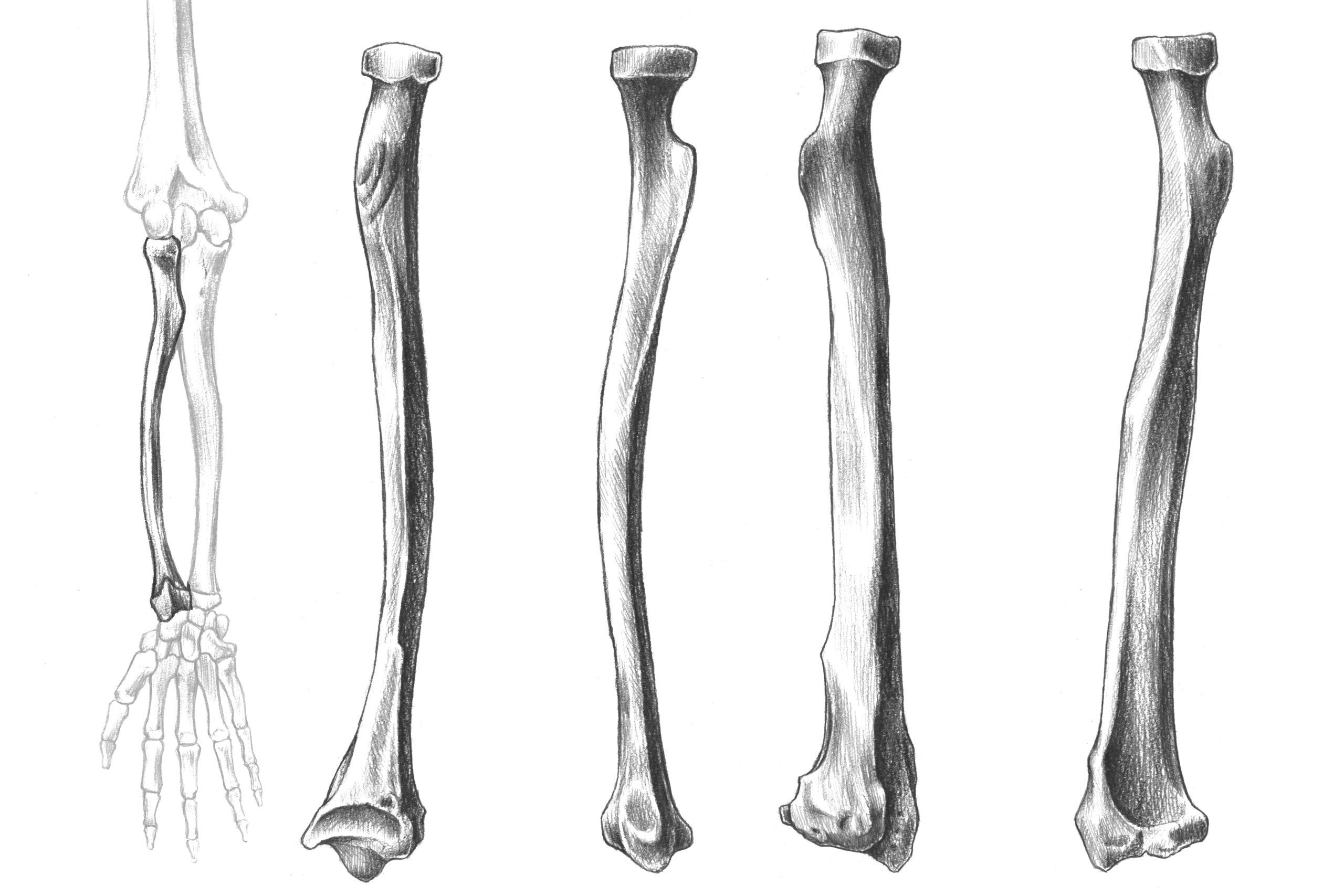 橈骨全体のスケッチ