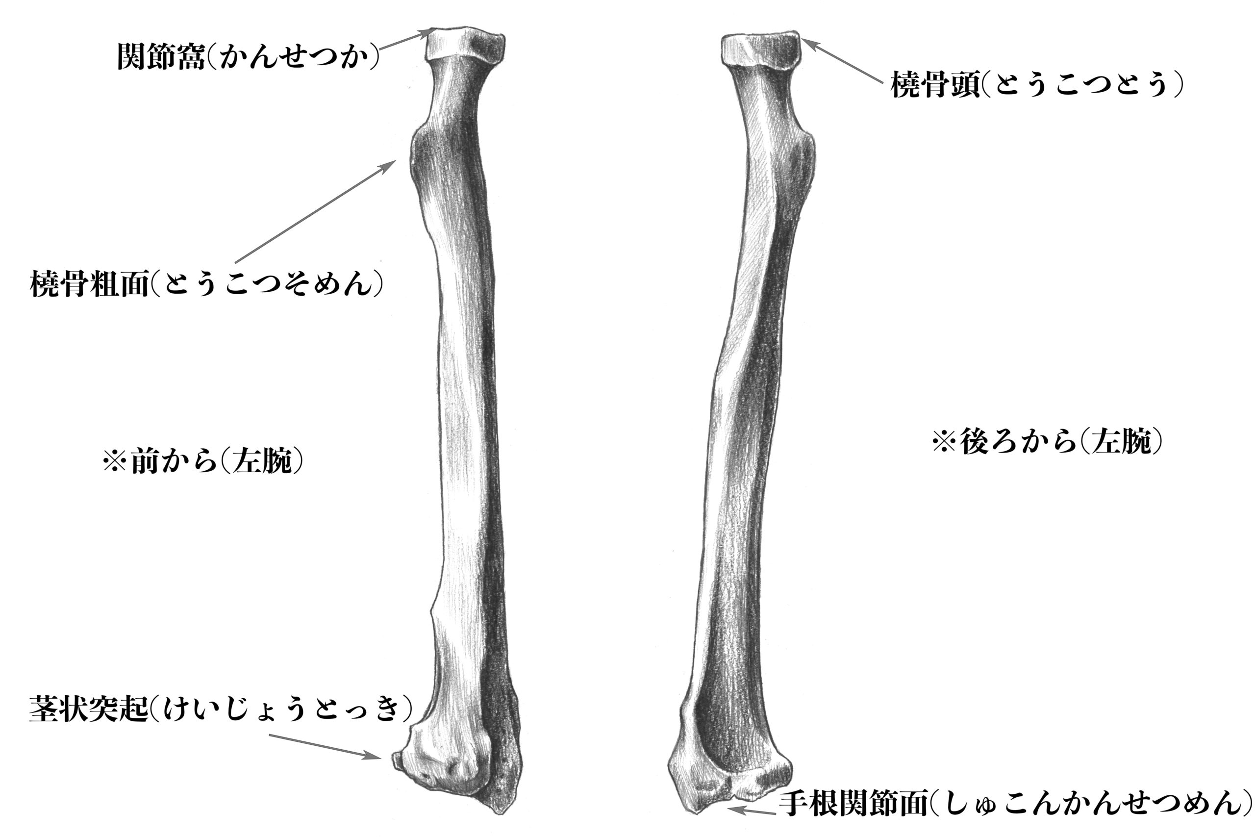 橈骨(前後から)のスケッチ