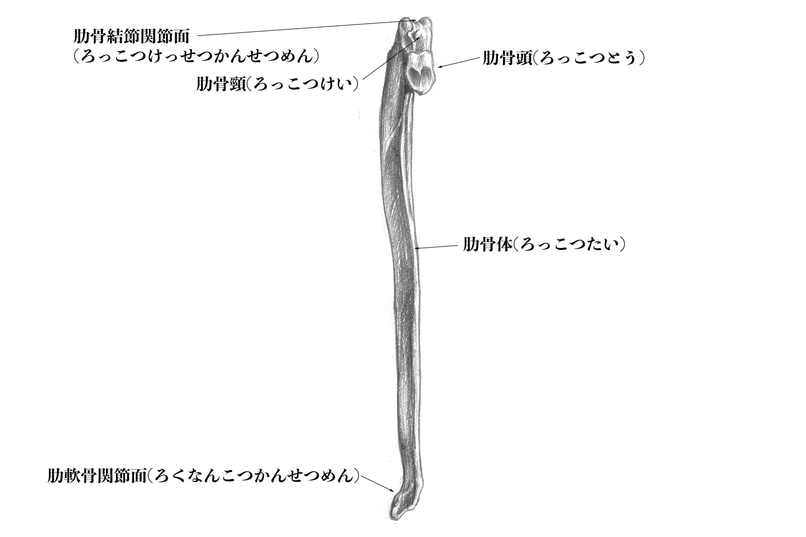 第一肋骨内側