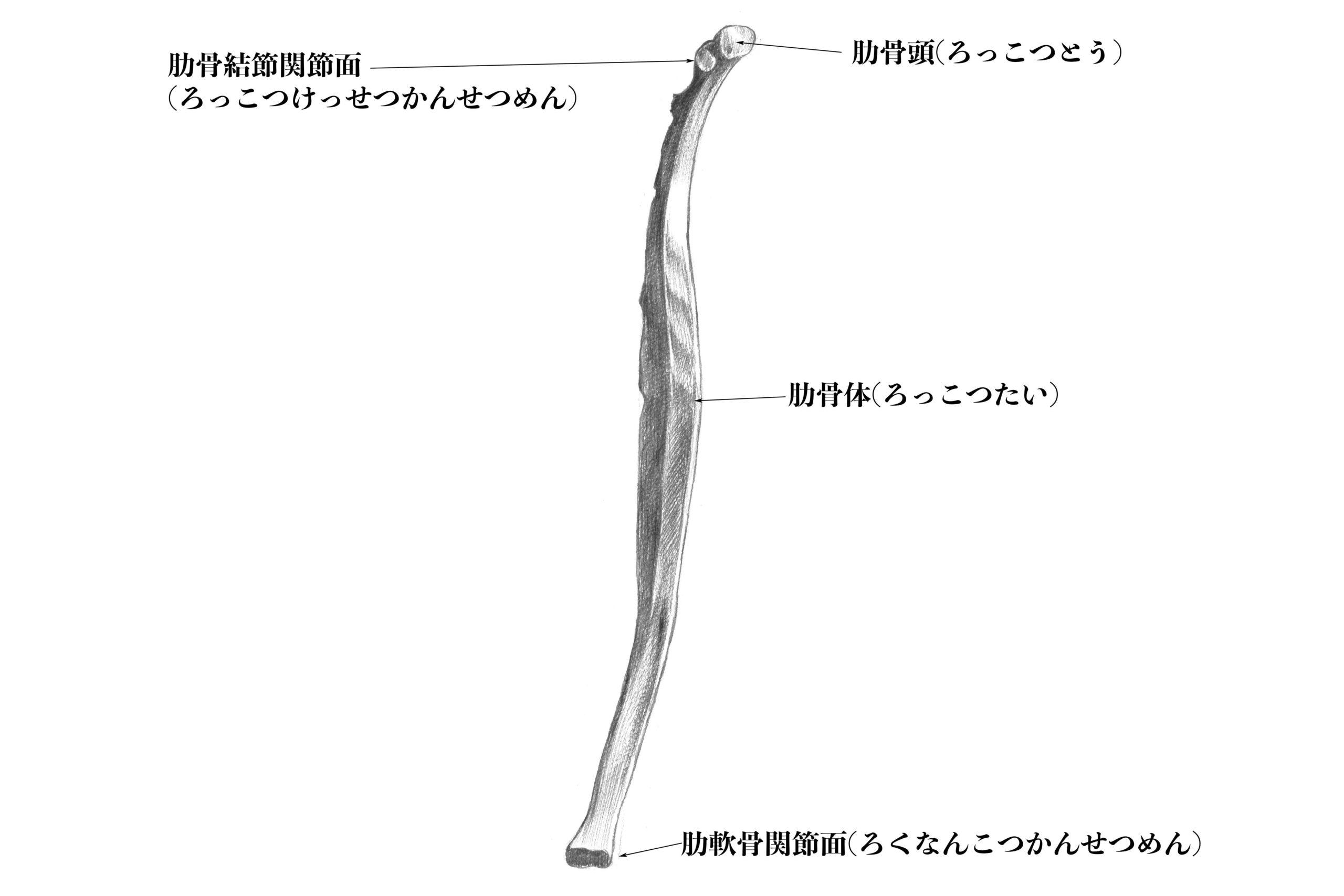 第七肋骨内側から