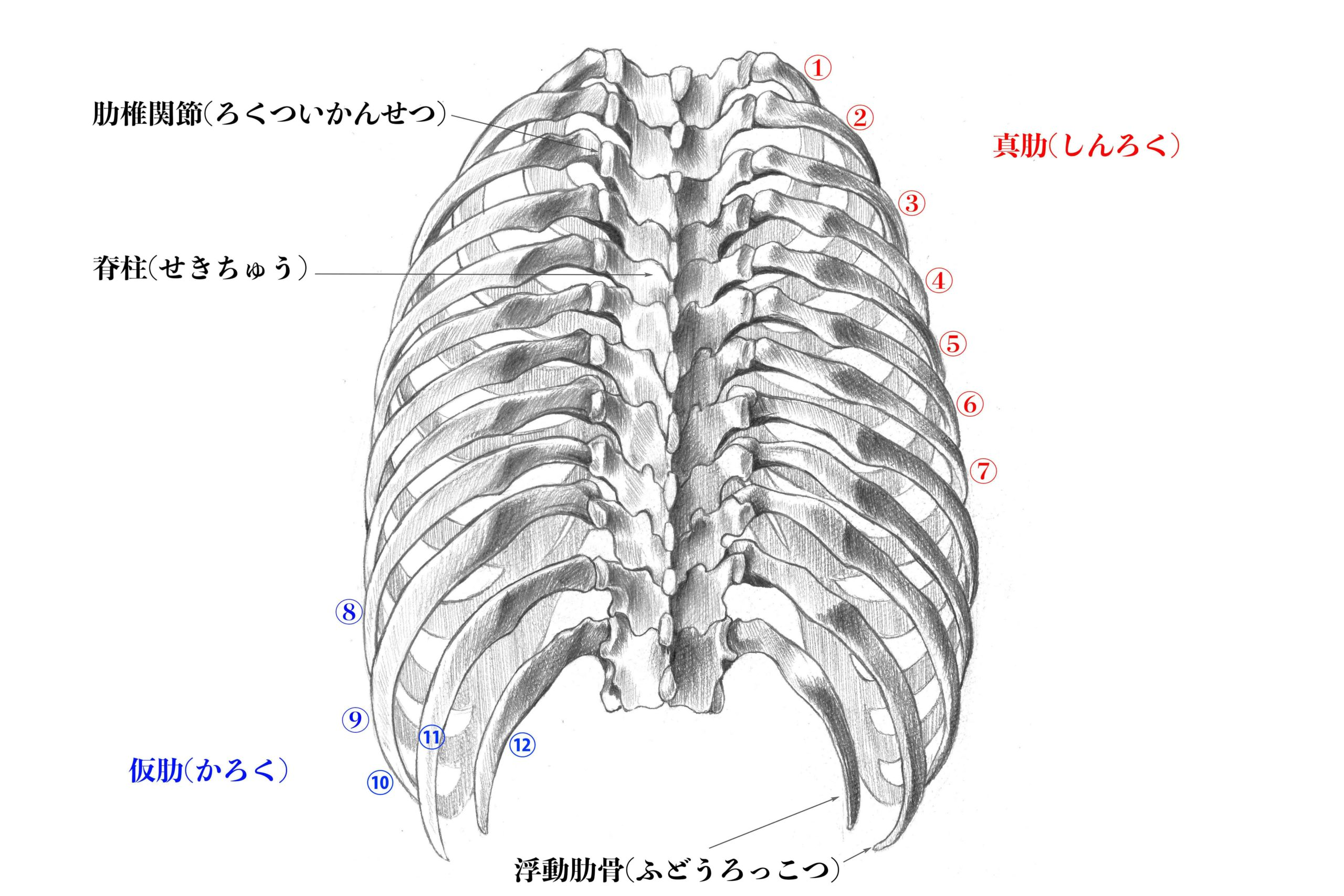 肋骨背面のスケッチ