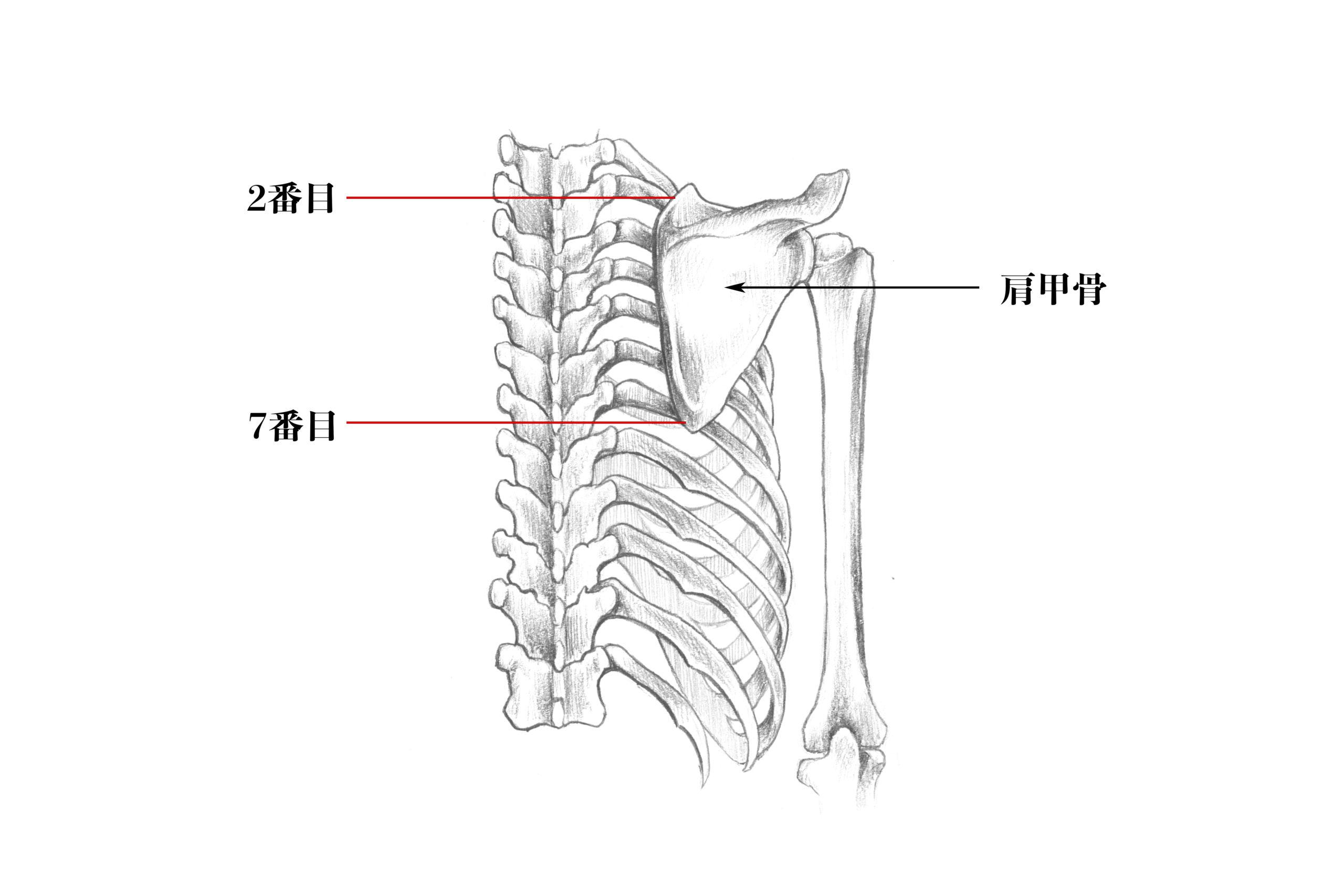 肩甲骨の位置のスケッチ