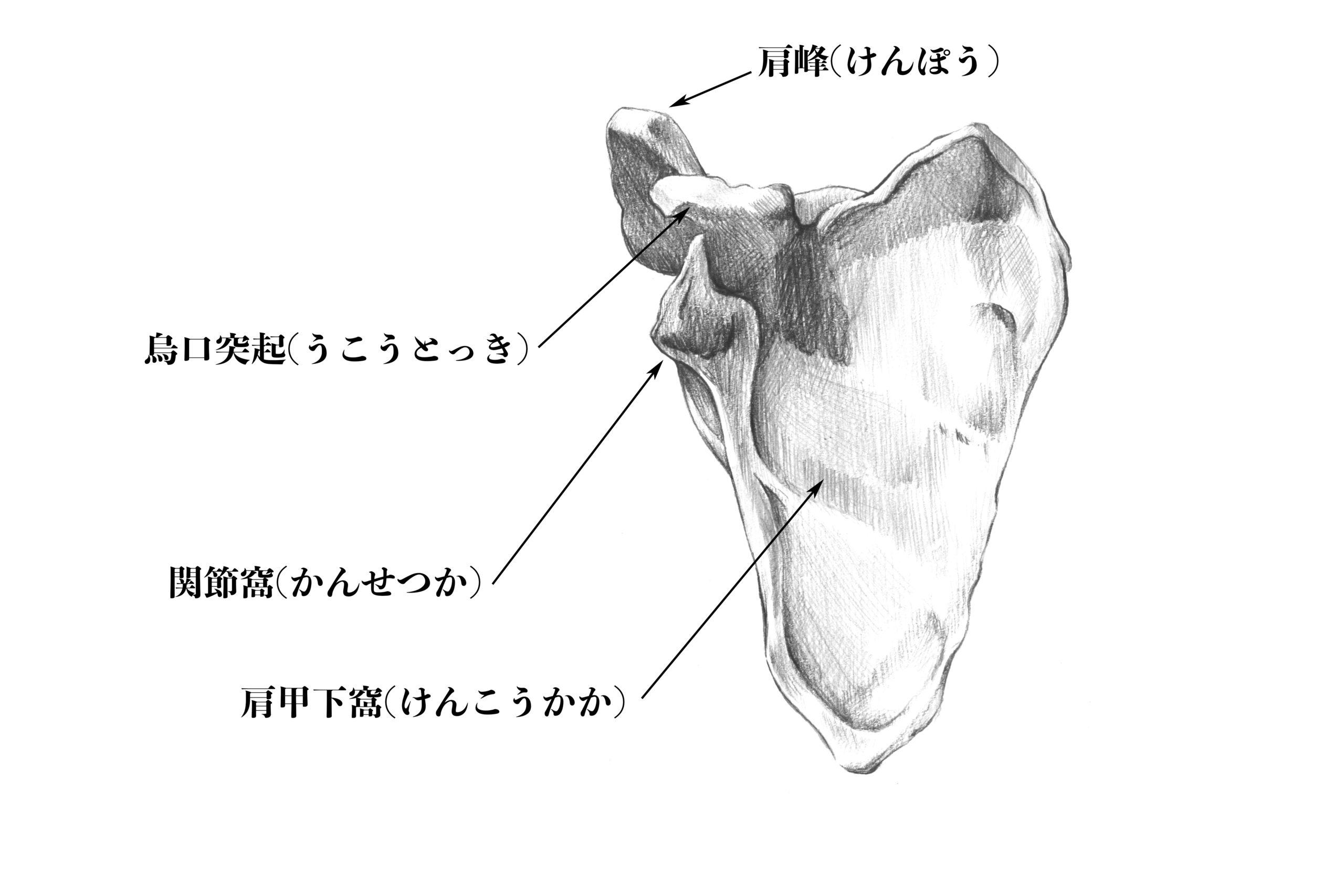 肩甲骨前からのスケッチ