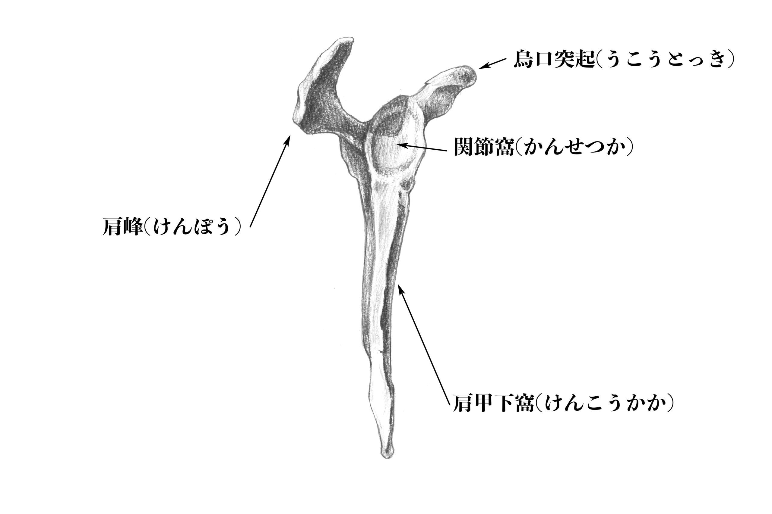 肩甲骨外側からのスケッチ