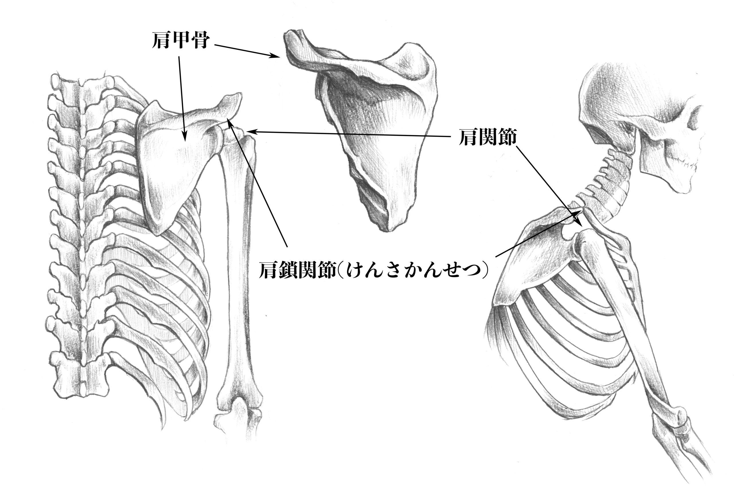 肩鎖関節と肩関節のスケッチ