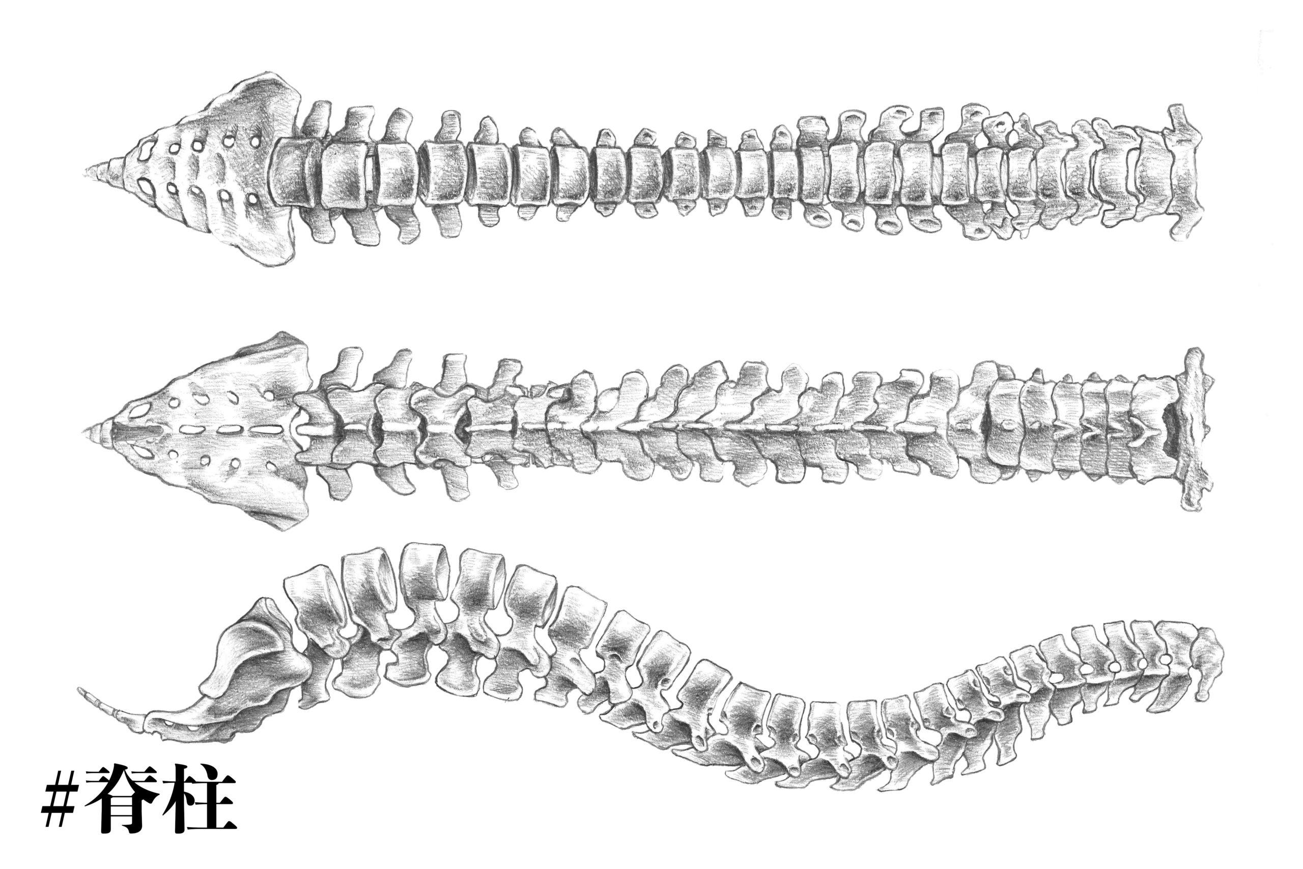 脊柱の構造についてのスケッチ