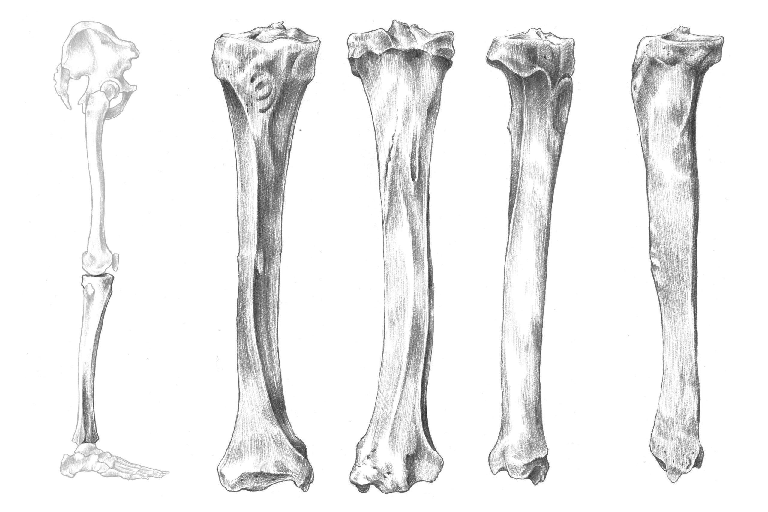 ふくらはぎの骨「脛骨」