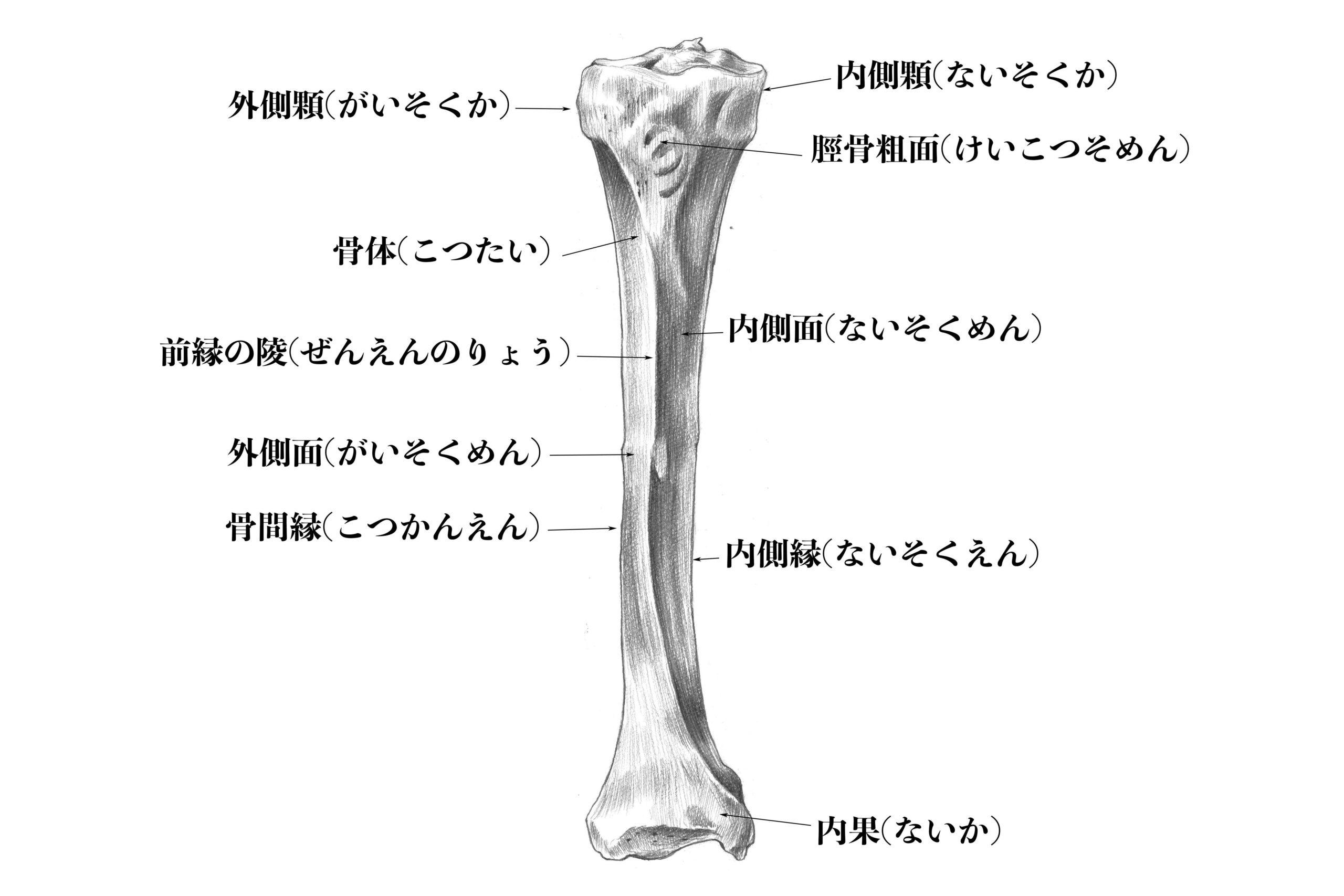 脛骨前面のスケッチ