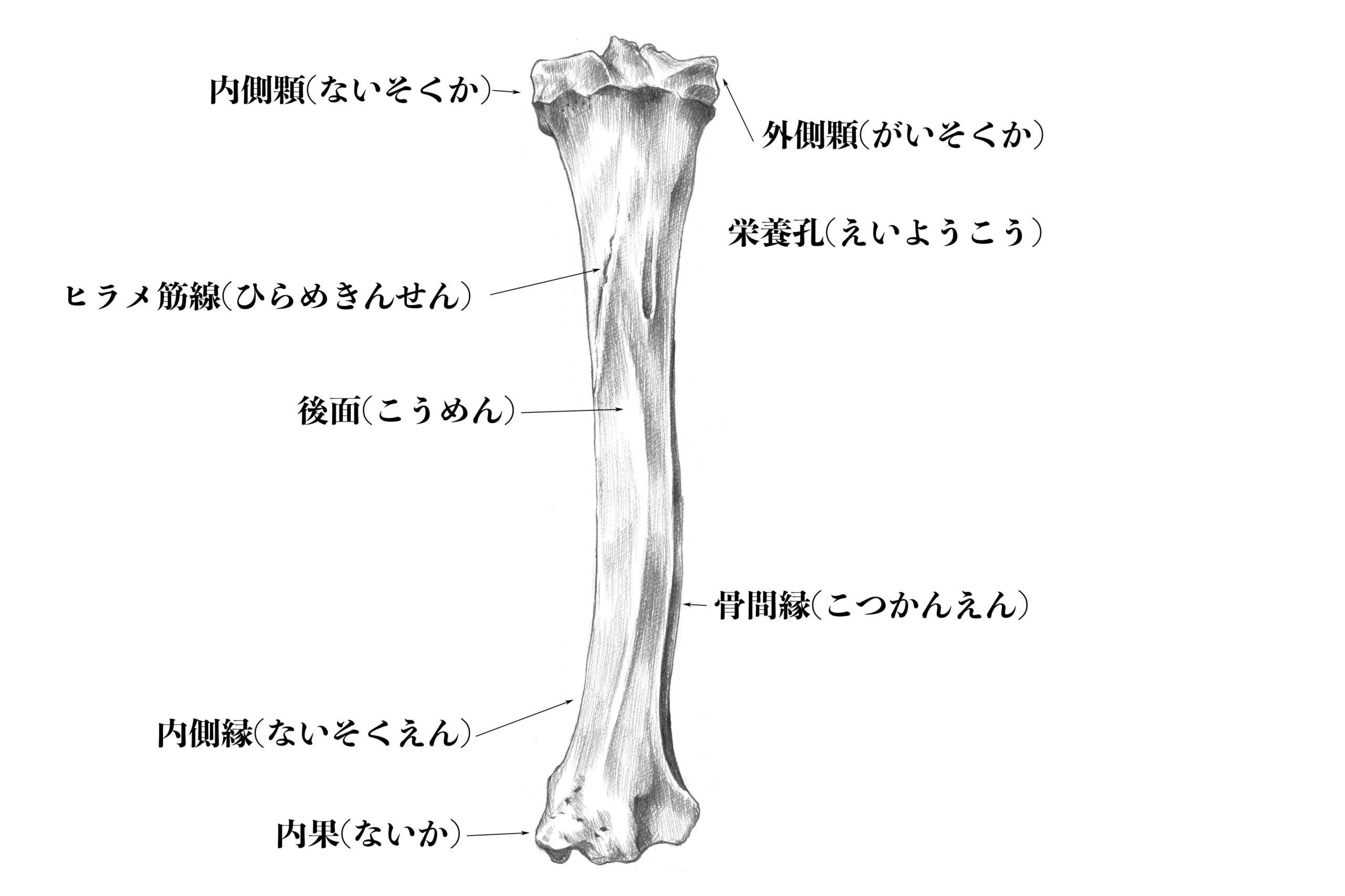 脛骨後面のスケッチå