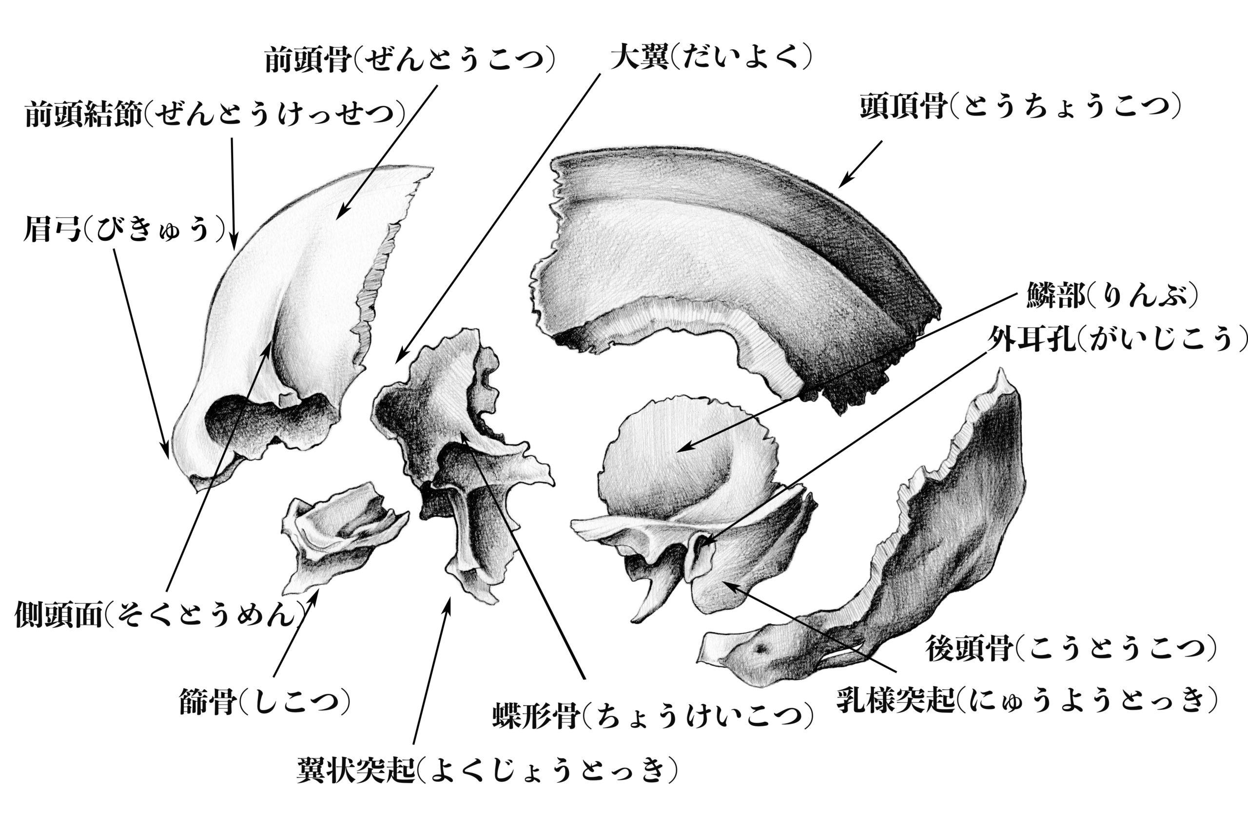 脳頭蓋を前後から見た図のスケッチ