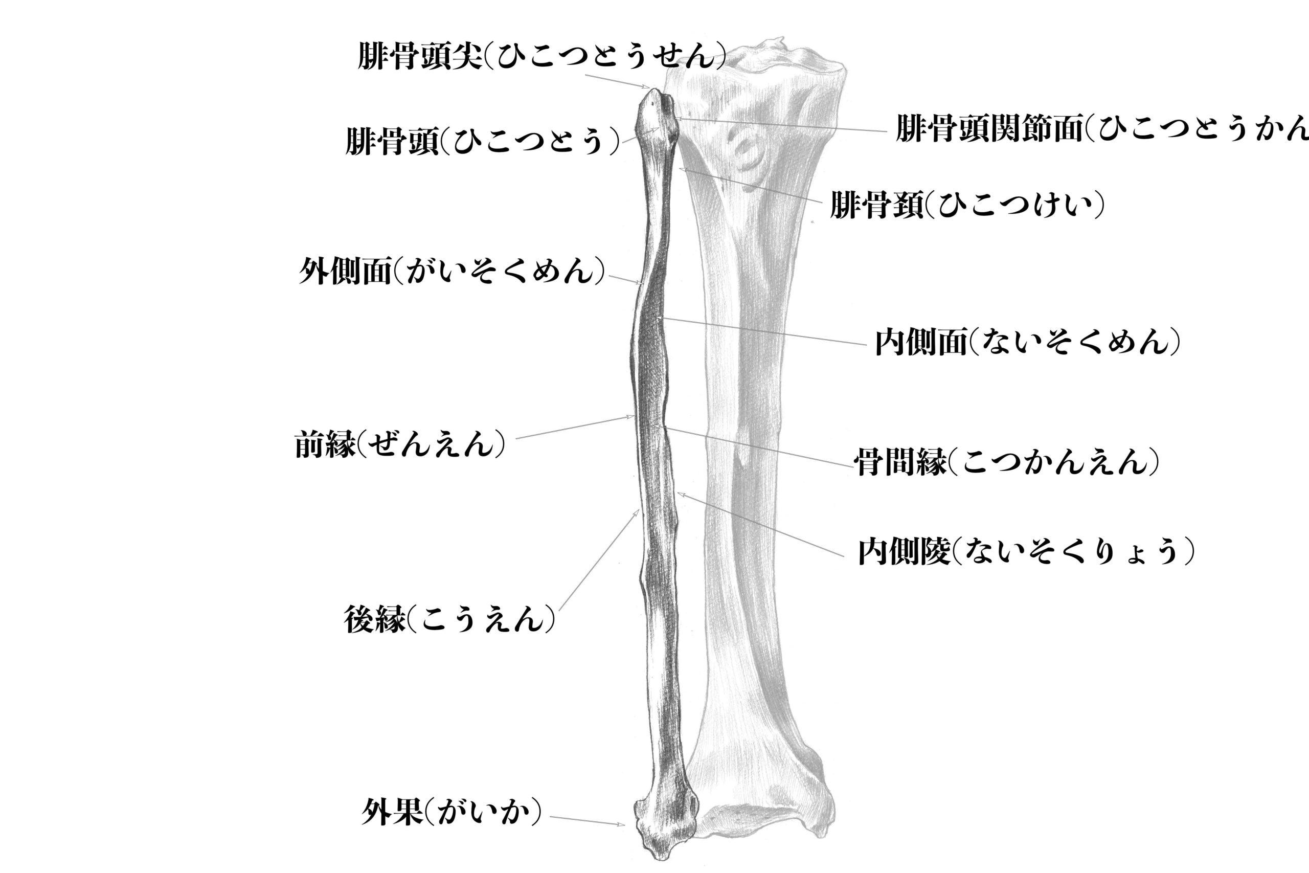 腓骨前面のスケッチ