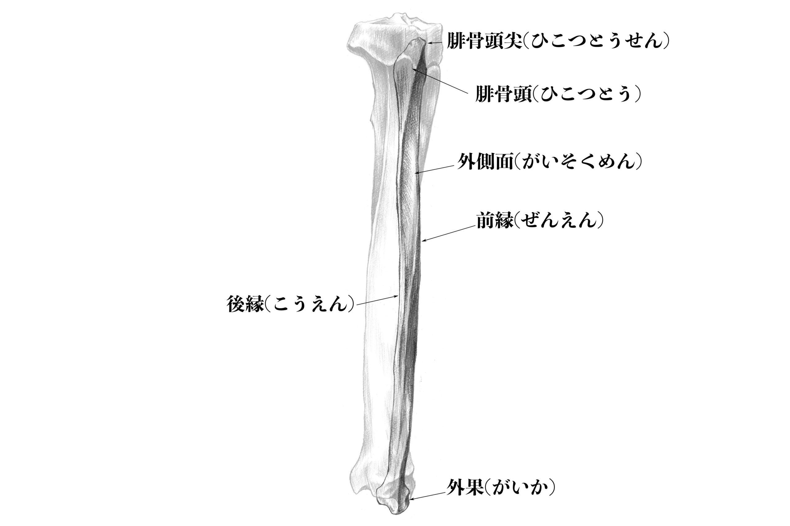 腓骨外側のスケッチ