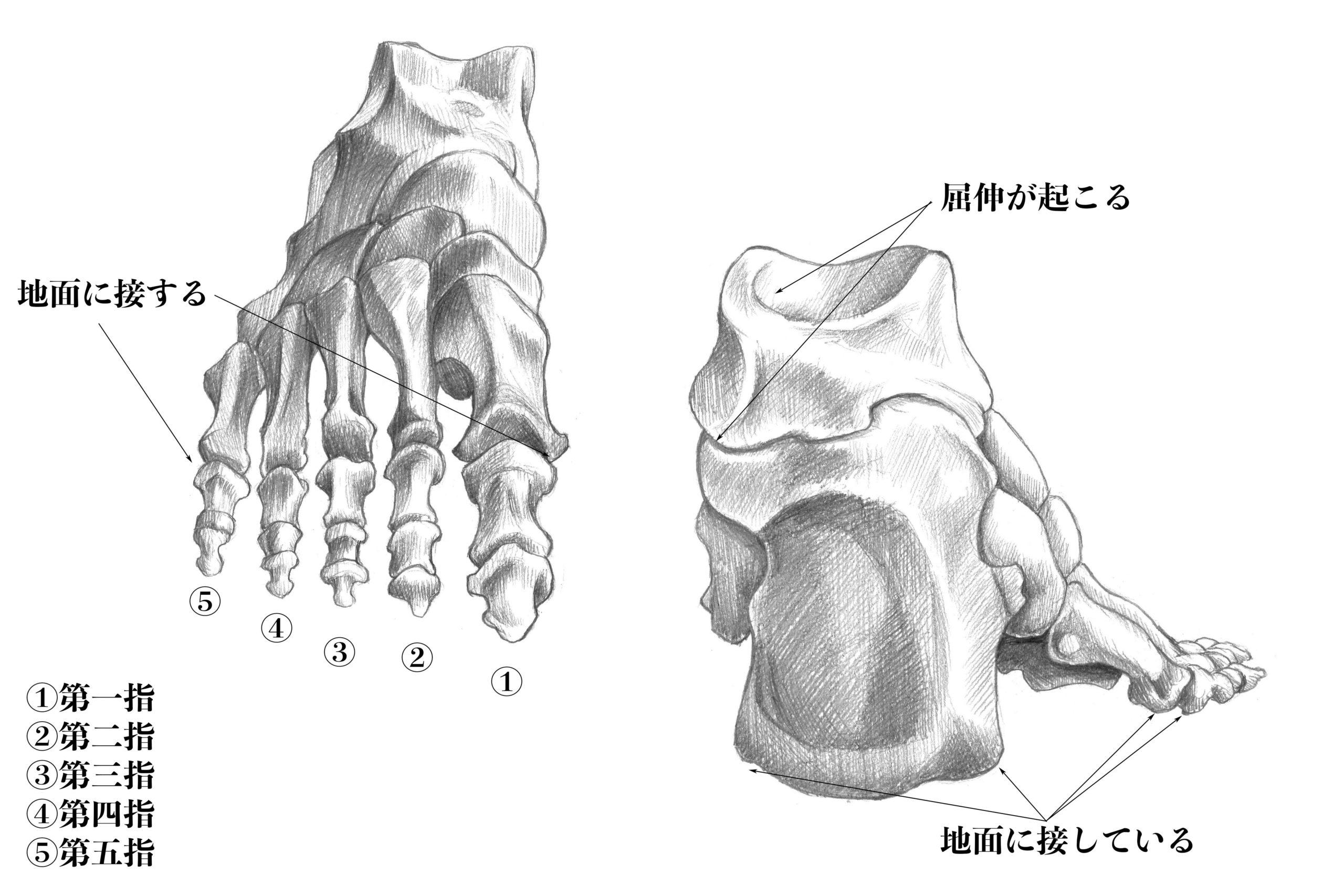 足骨の動き