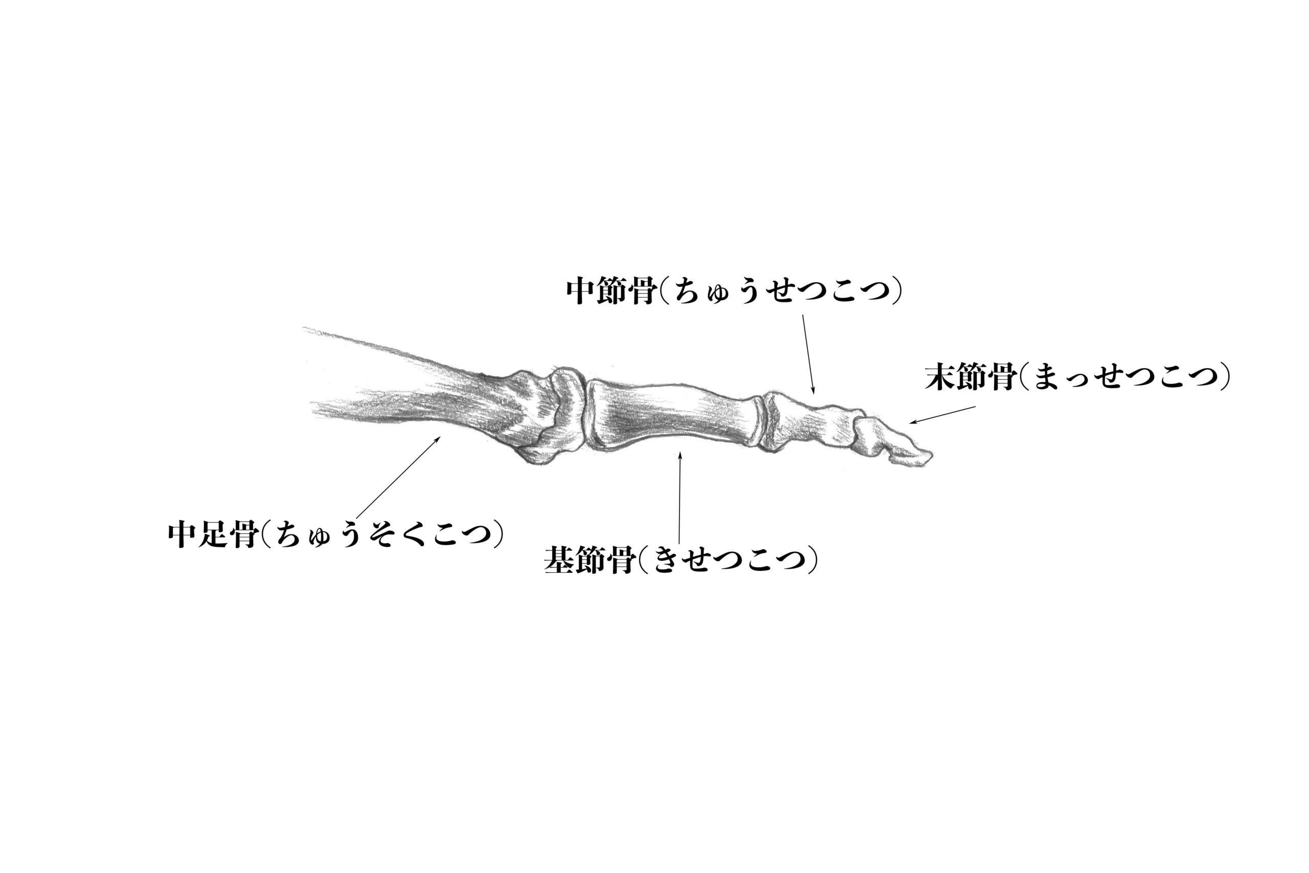 足骨第二指−第五指までの指骨