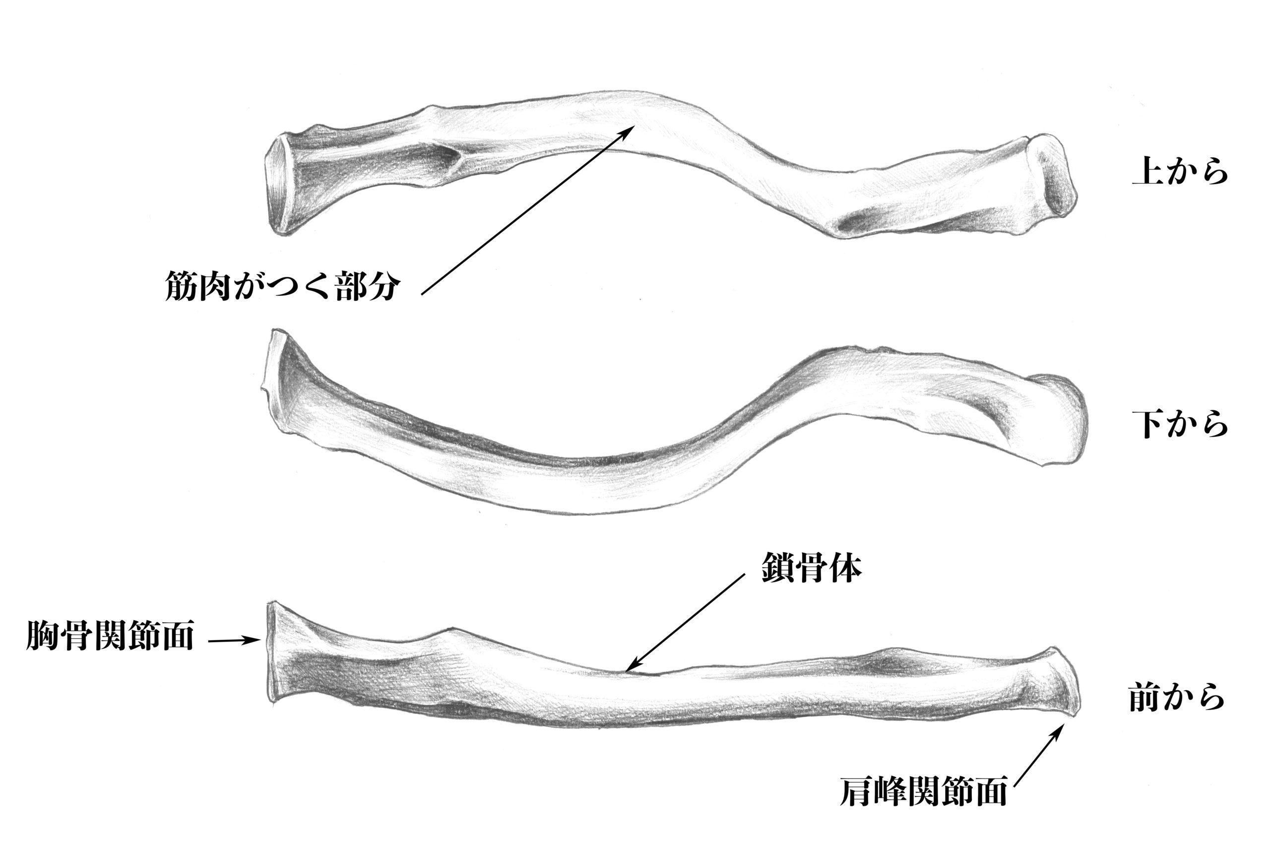 肩周りの関節のスケッチ
