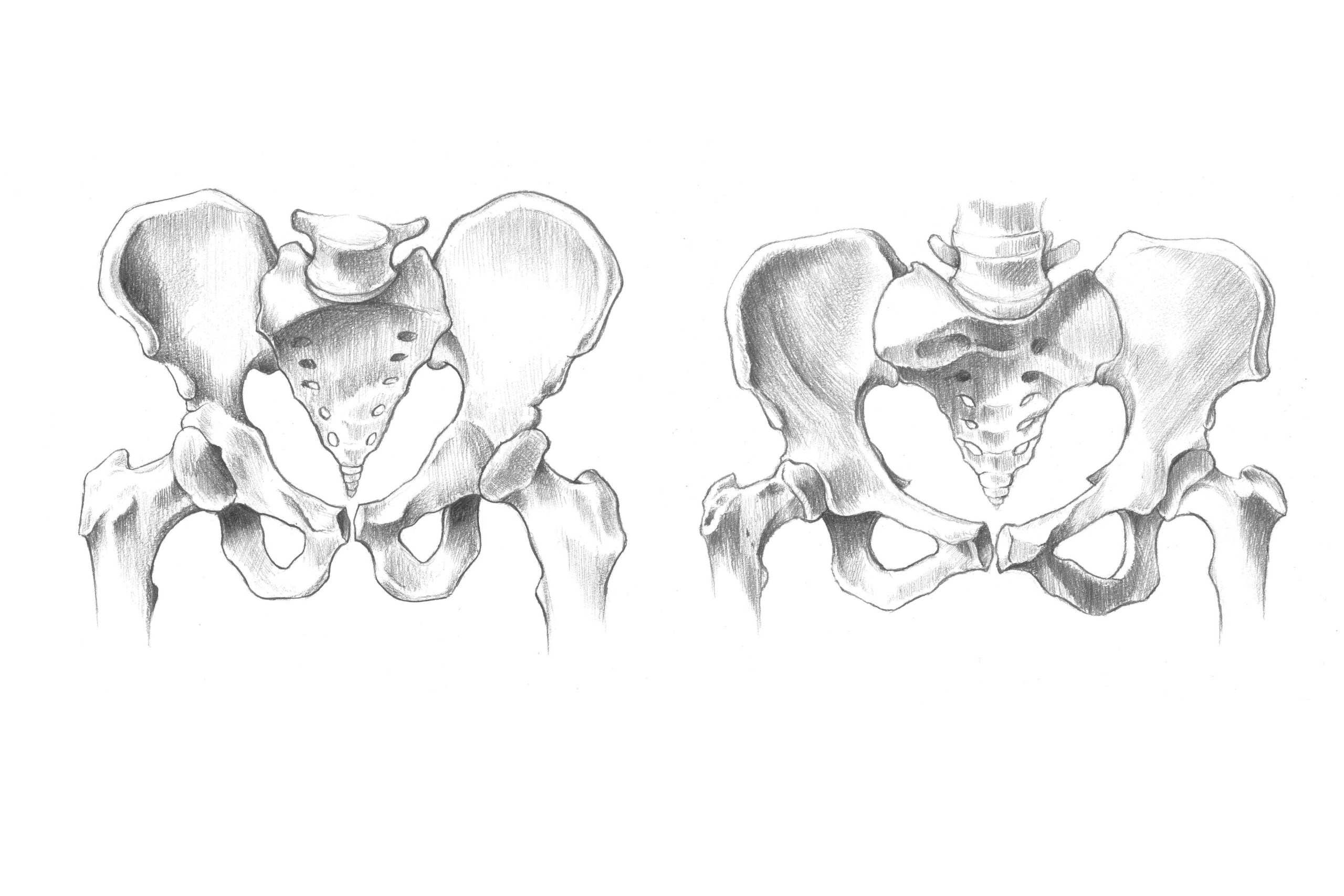 男女の骨盤のスケッチ