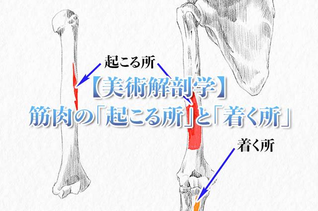 美術解剖学筋肉の起こる所と着く所アイキャッチ