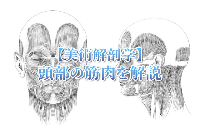 美術解剖学頭部の筋肉アイキャッチ