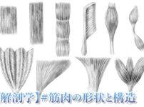 解剖学筋肉の形状と構造アイキャッチ