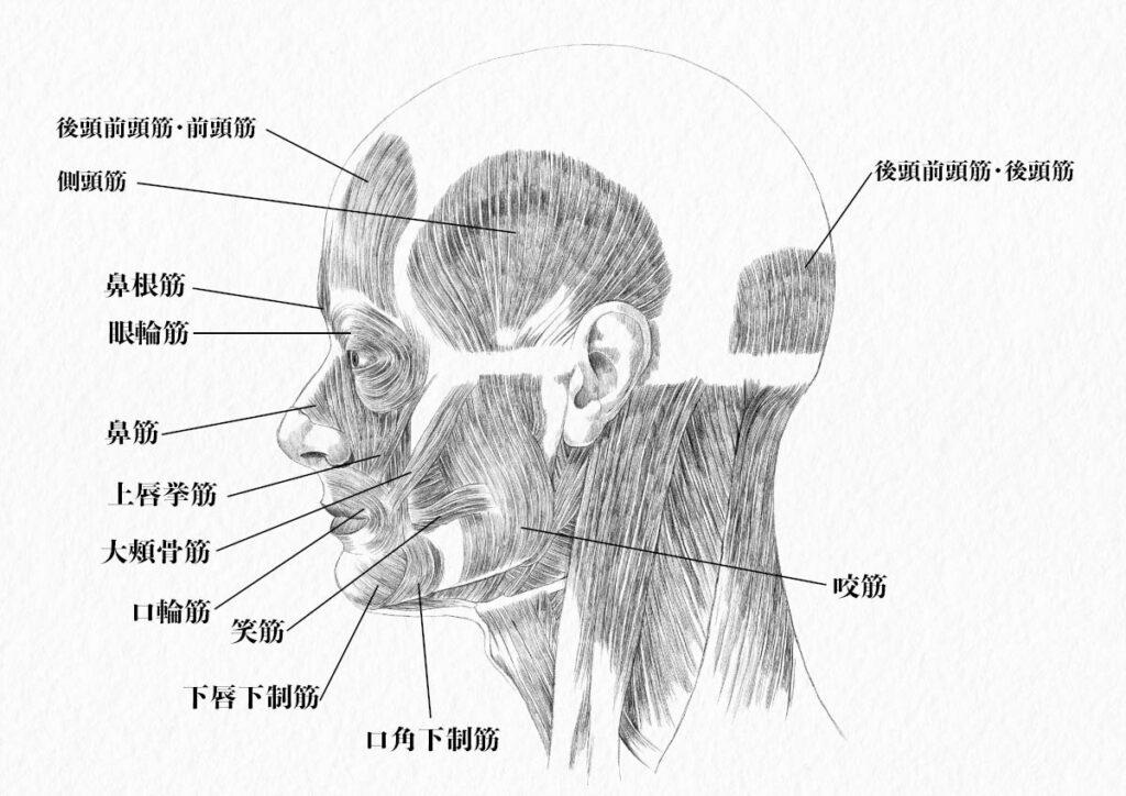 頭部の筋肉_側面