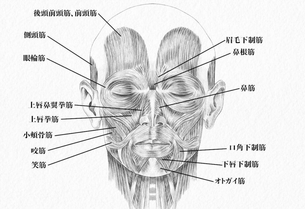 頭部の筋肉_前面